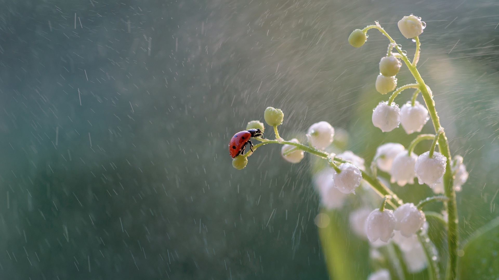 Wallpaper Lilies Of The Valley Ladybug Rain 1920x1200 Hd Picture