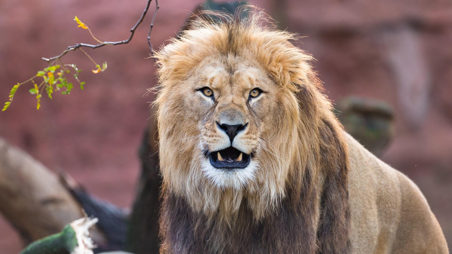 Vorderansicht Des Löwen Mähne Zähne 1920x1200 Hd