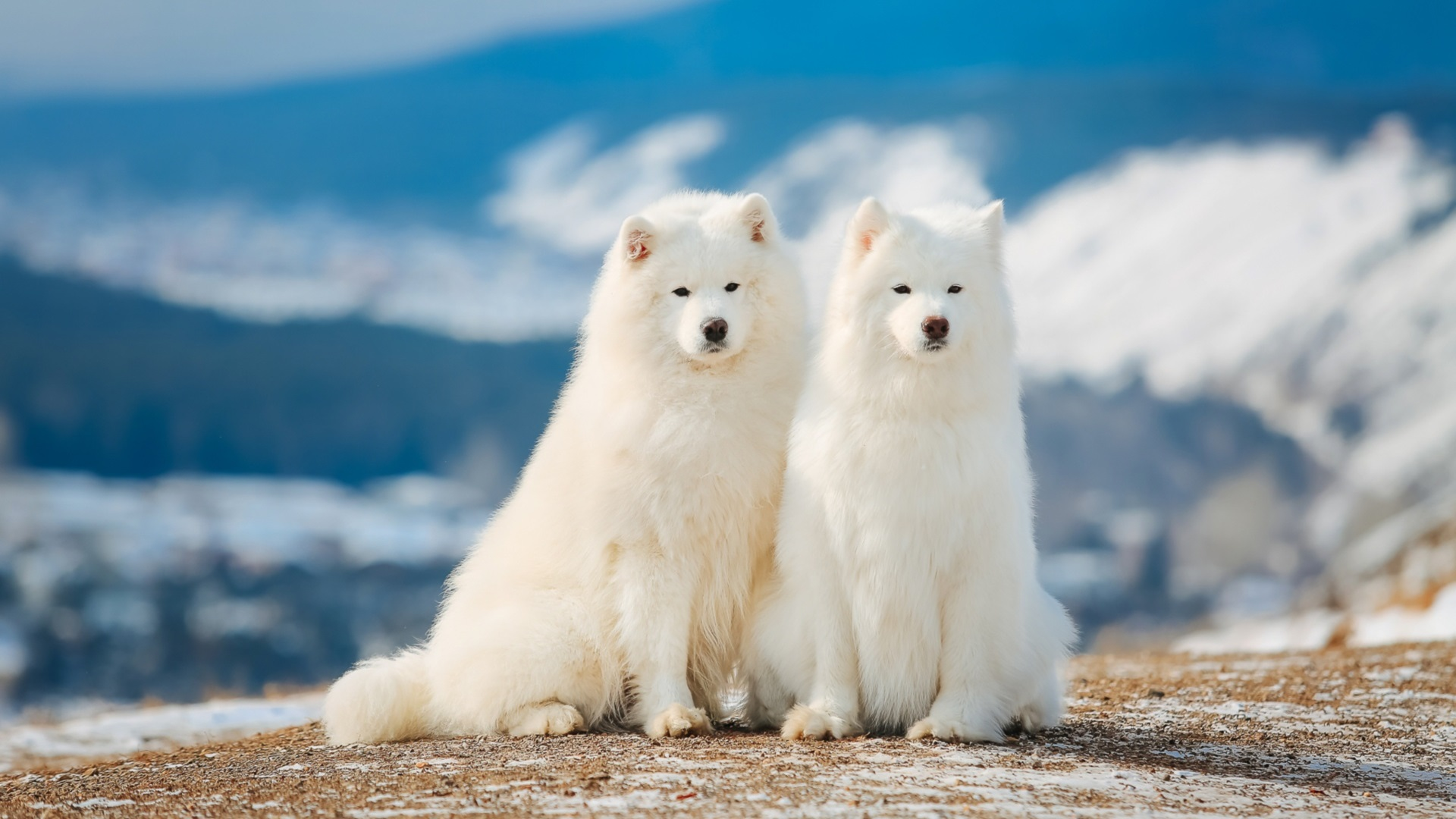 Wallpaper Two Samoyed Dogs 1920x1200 Hd Picture Image