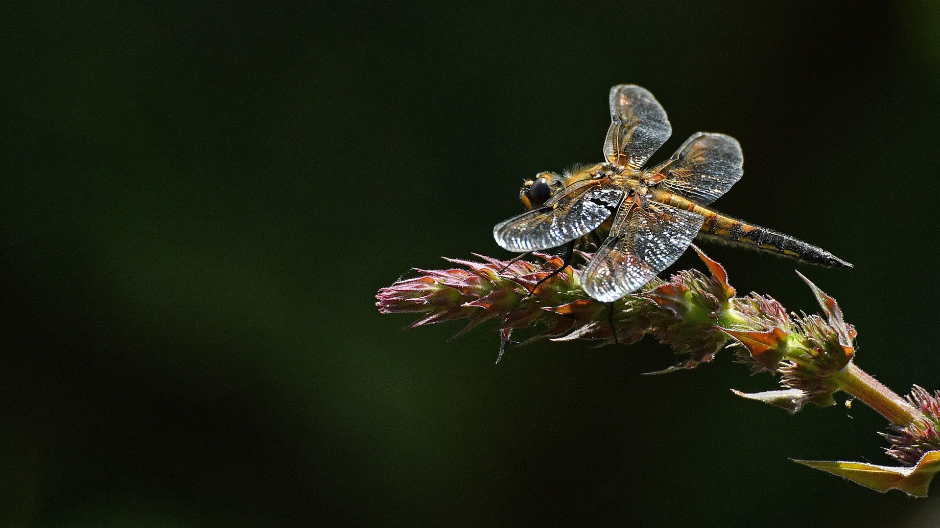 Eyes Of A Dragonfly Nature Dew Cute Macro Hd Wallpaper: Wallpaper Dragonfly, Plant, Black Background 1920x1080