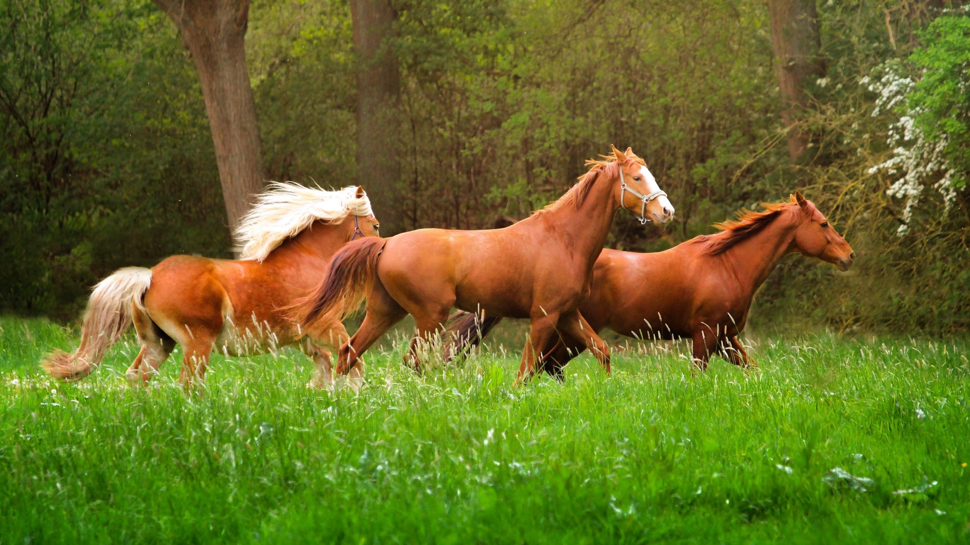 Wallpaper Three Brown Horses Walk In The Grass 1920x1080 Full Hd 2k Picture Image