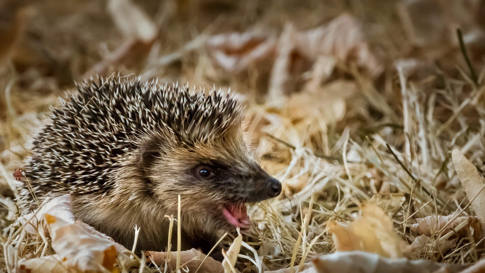 Wallpaper Hedgehog, open mouth, dry leaves 1920x1080 Full HD