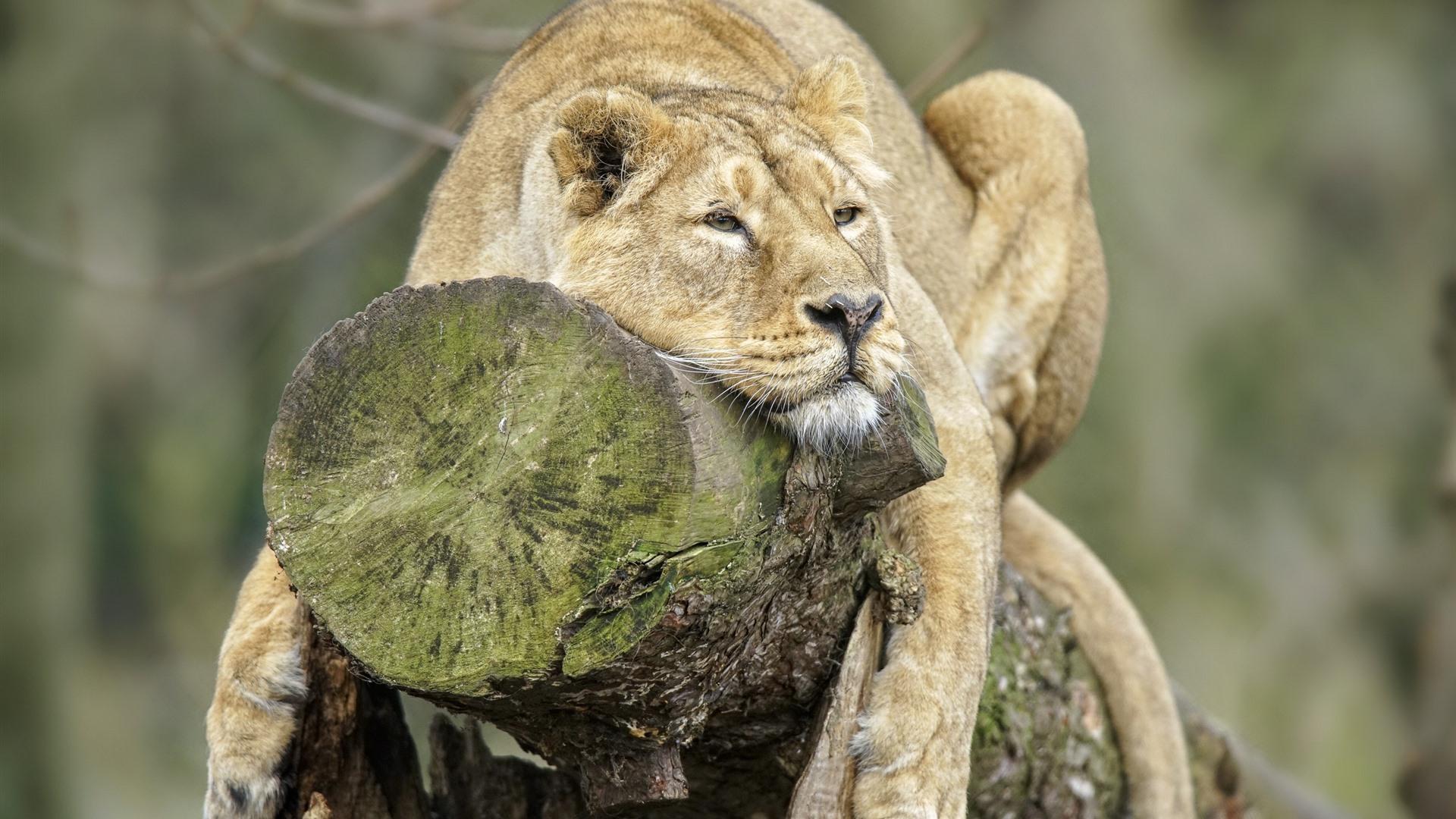 Lion, Rest, Stump 750x1334 IPhone 8/7/6/6S Wallpaper