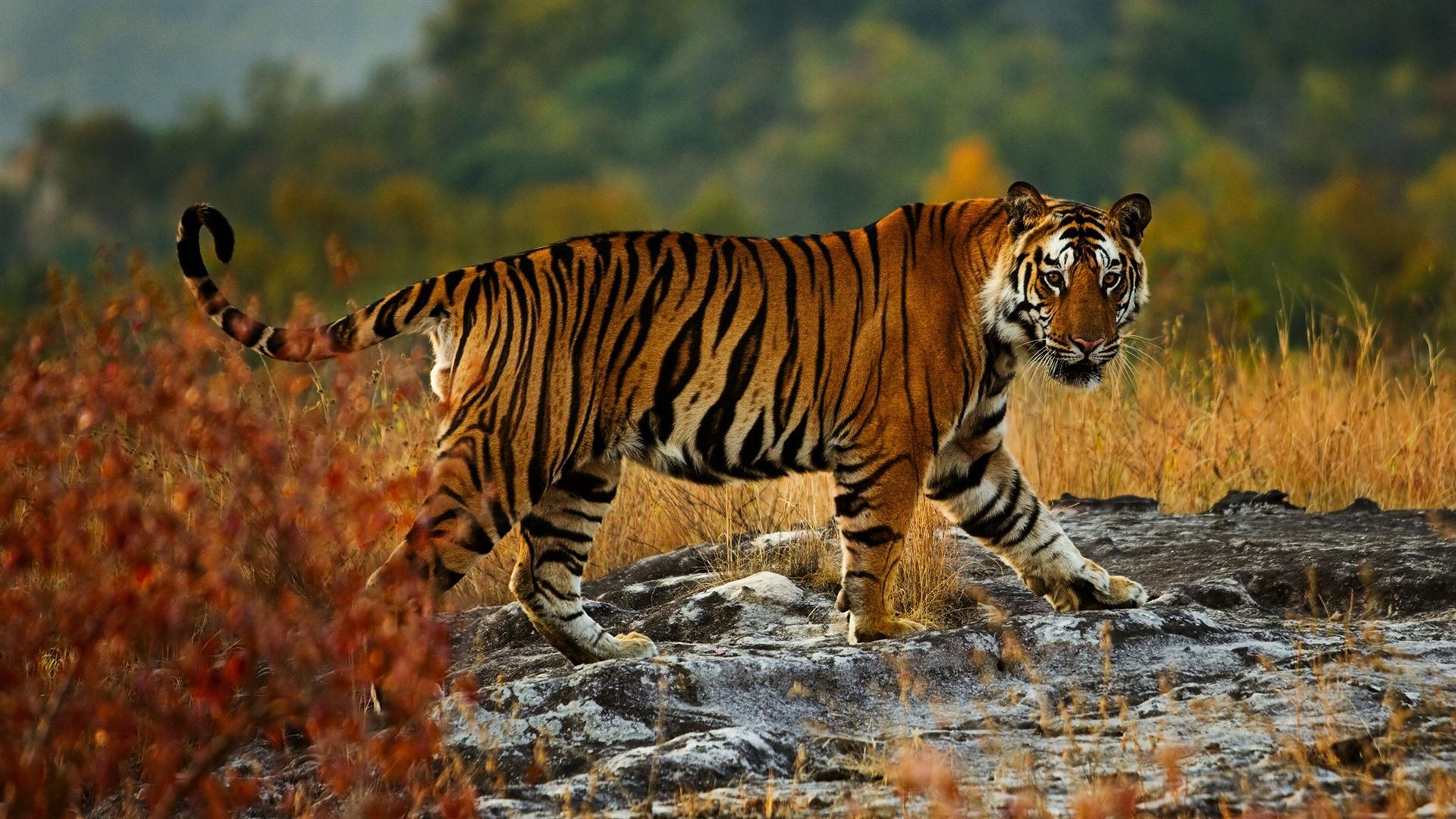 wallpaper tiger walking wildlife look 2560x1440 qhd
