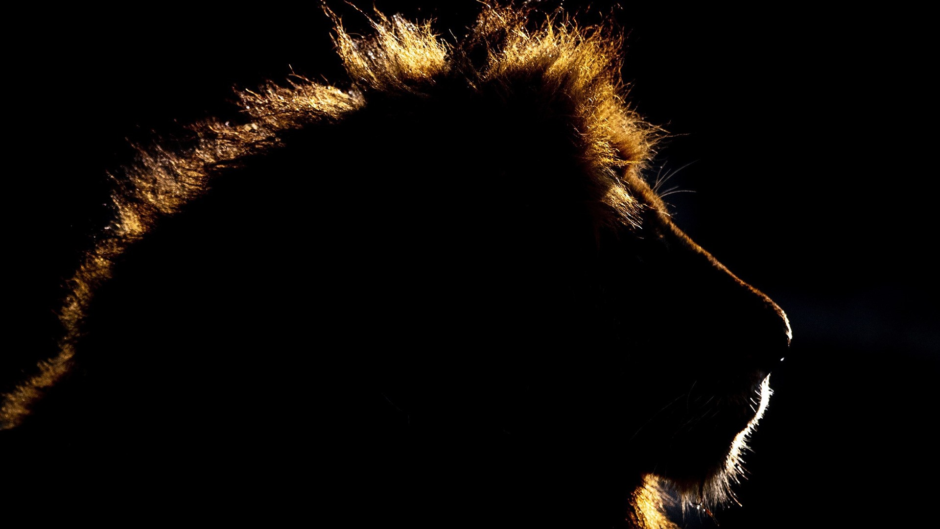 Wallpaper Animal King Lion Head Silhouette Black Background 1920x1200 Hd Picture Image