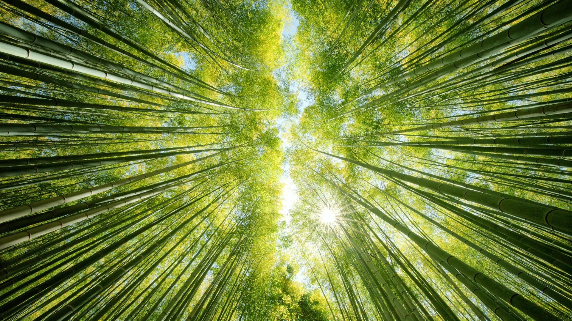 Fonds D Ecran Foret De Bambou Vert Rayons Du Soleil De Vue De Bas 1920x1200 Hd Image
