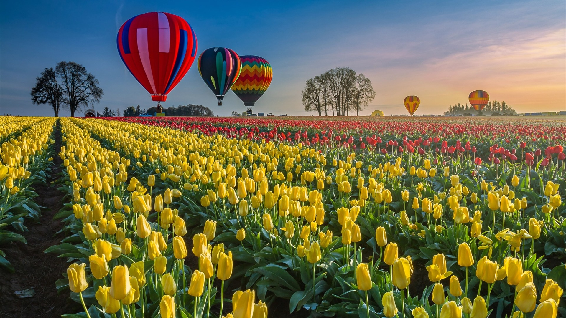 Tulips Field Hot Air Balloon 750x1334 Iphone 8 7 6 6s