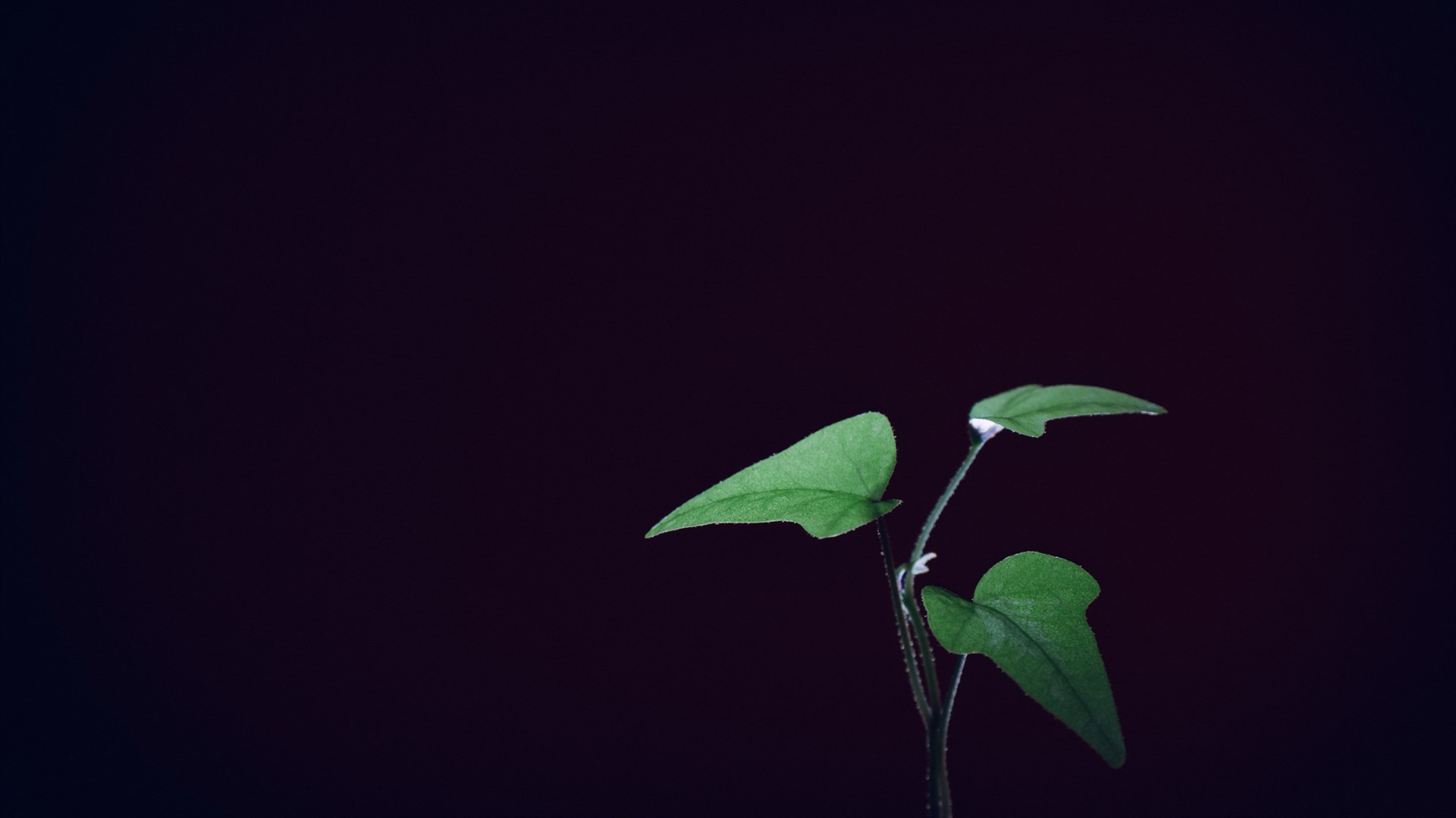 Wallpaper Green Leaves Plants Black Background 1920x1200 Hd Picture Image