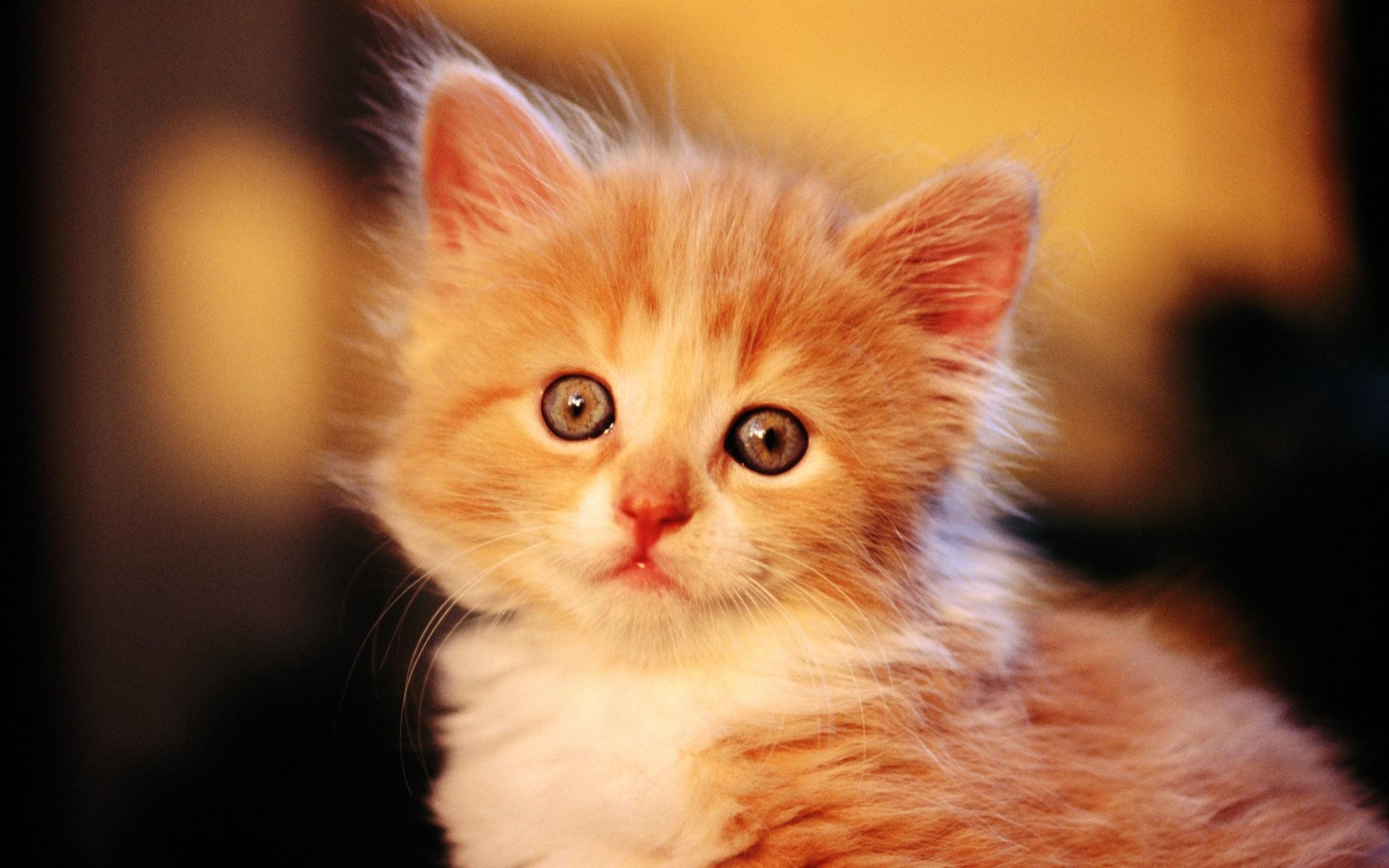 fonds d 39 cran chat mignon peu d 39 orange 1920x1200 hd image. Black Bedroom Furniture Sets. Home Design Ideas