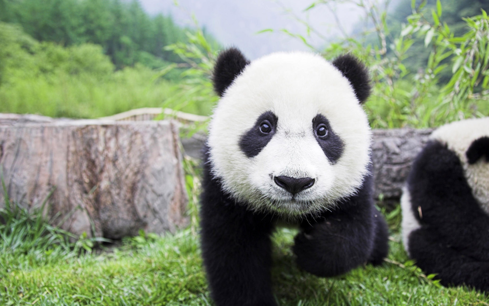 Wallpaper Cute Panda 1920x1200 HD Picture Image