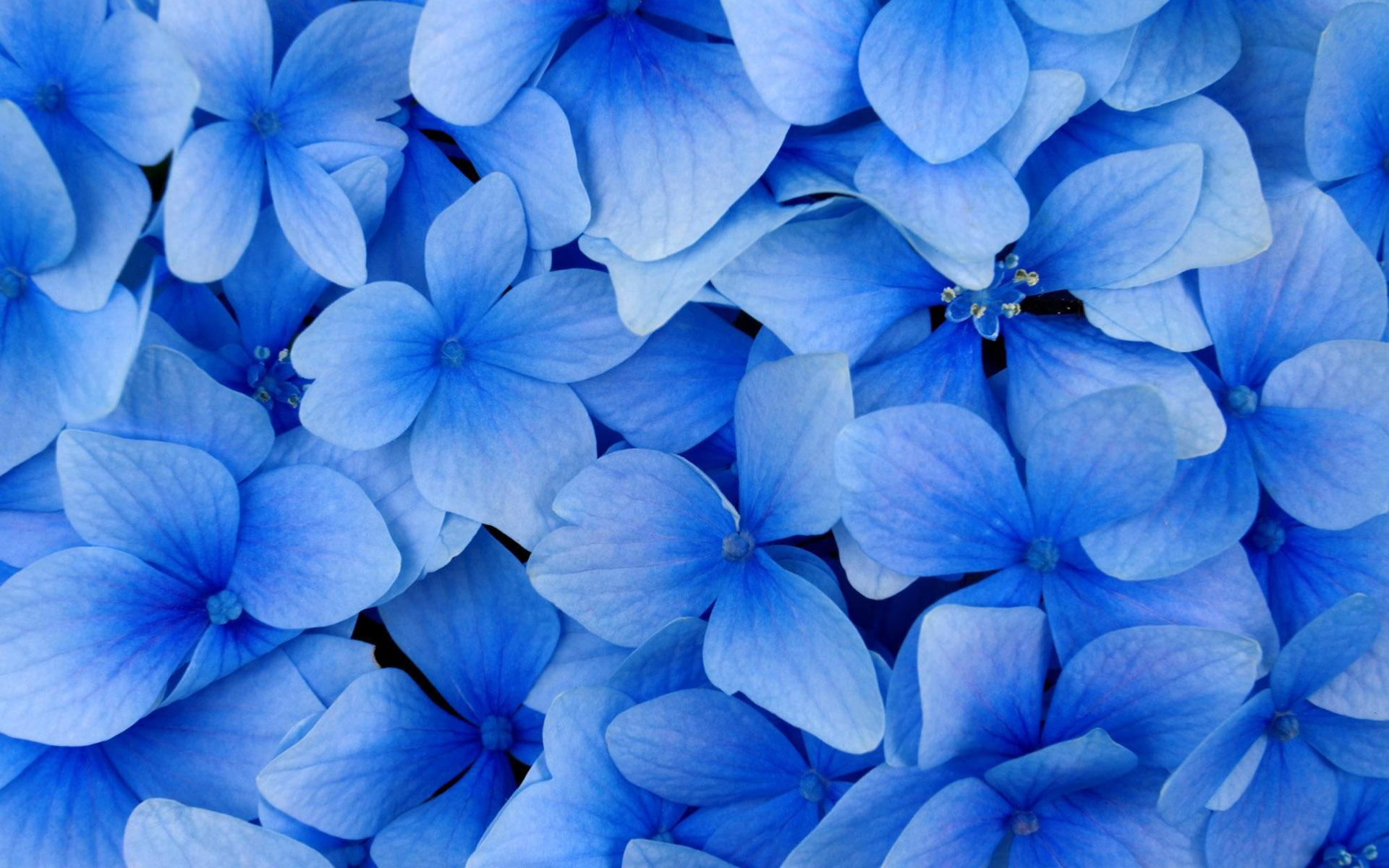 Blaue blumen hintergrundbilder - 1920x1200