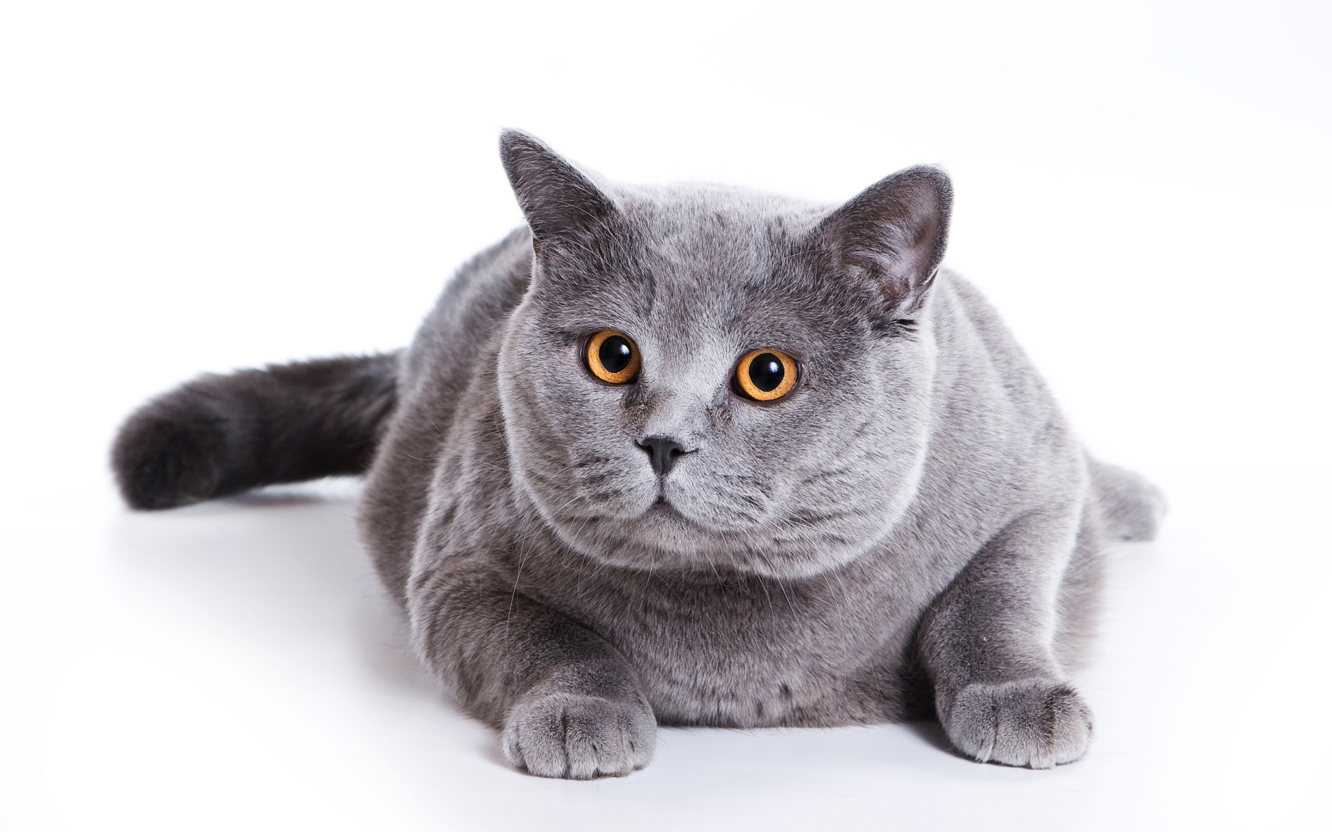 Fat Grey Cat 65