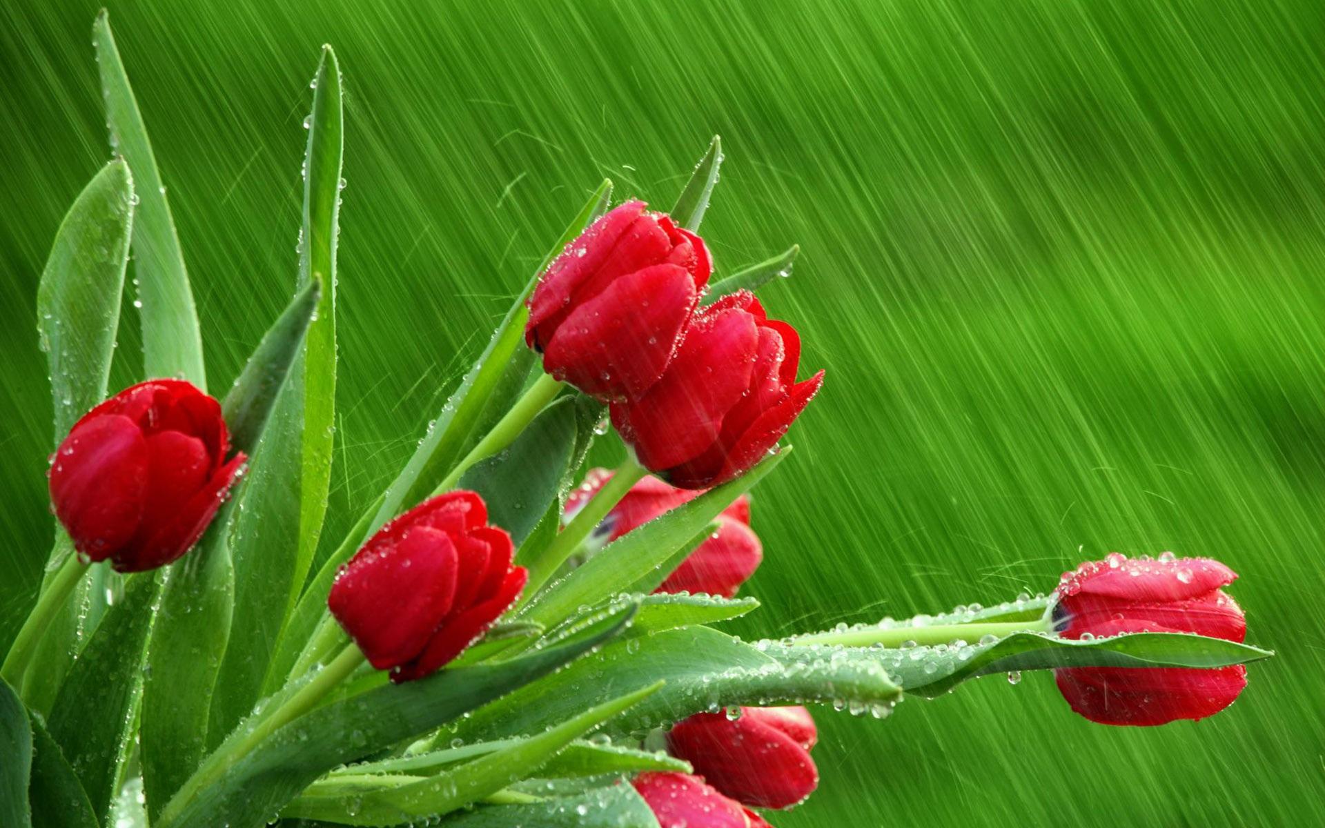 Fondos De Pantalla 1440x900 Tulipas Pascua Fondo De Color: Fondos De Pantalla Red Tulipanes Fondo Verde 1920x1200 HD