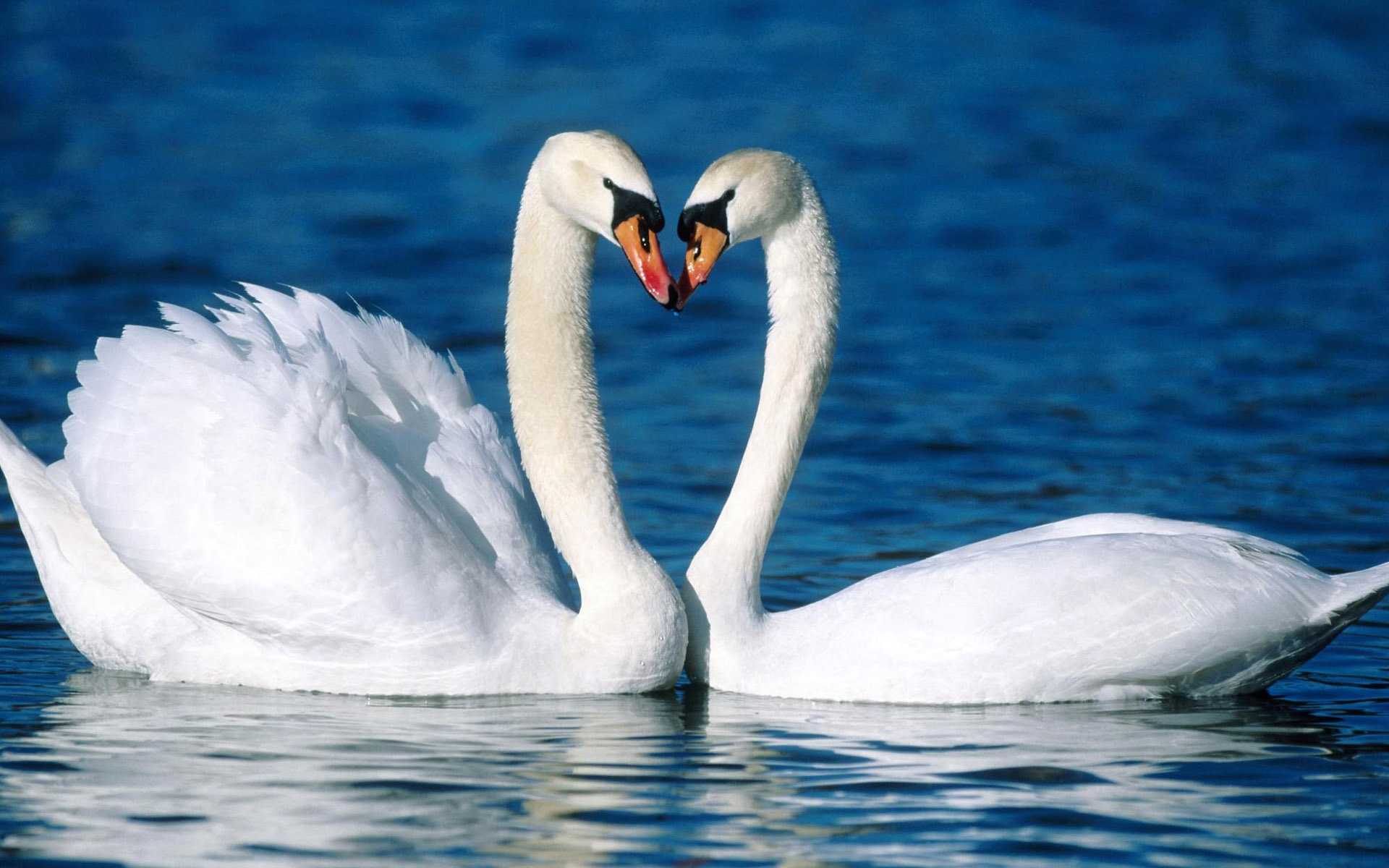 Two-white-swans-on-the-water_1920x1200.jpg