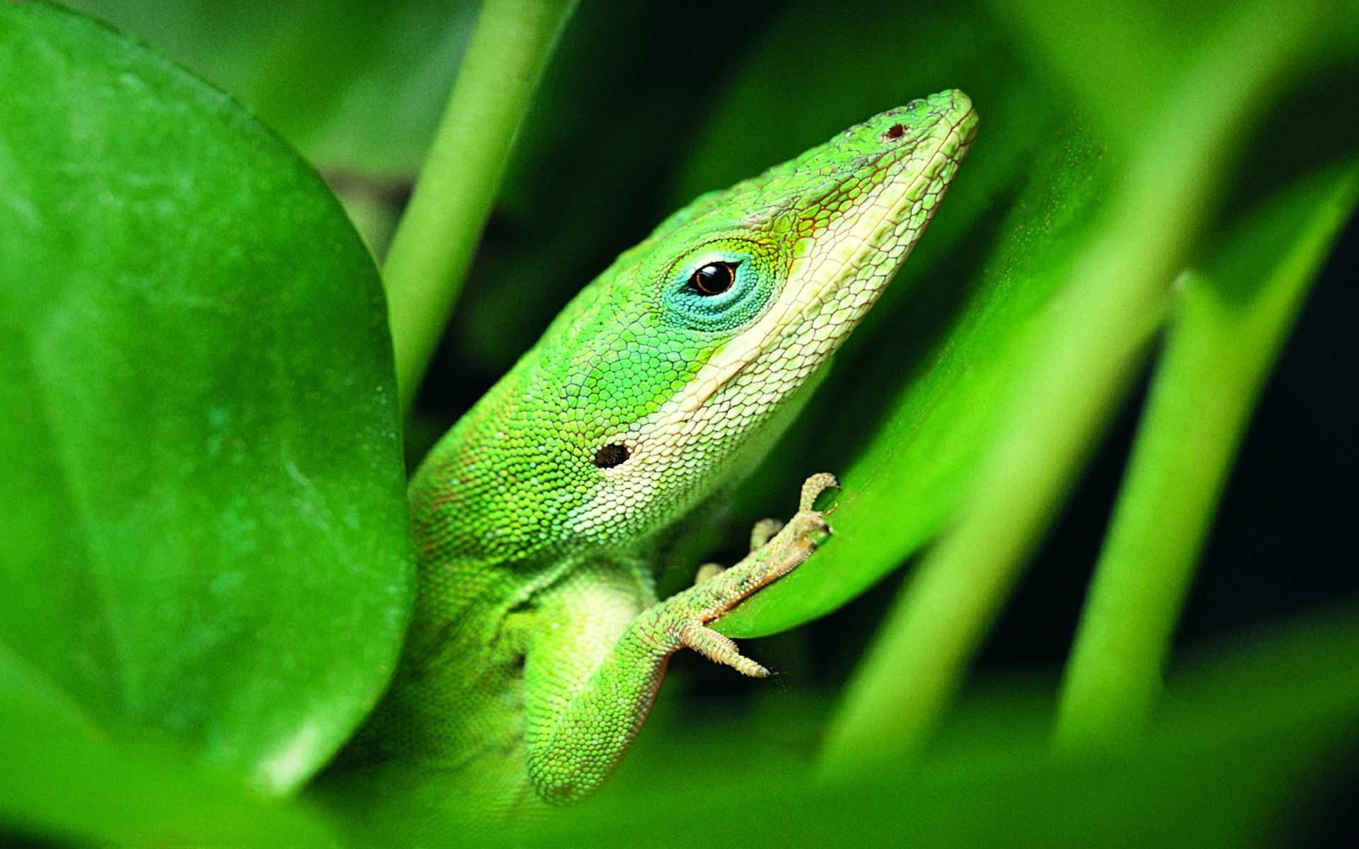 Зеленая ящерица в листьях загрузить