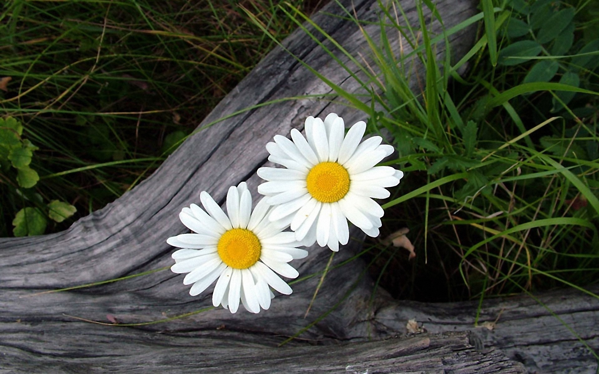 Wallpaper Two White Daisy 1920x1200 Hd Picture Image