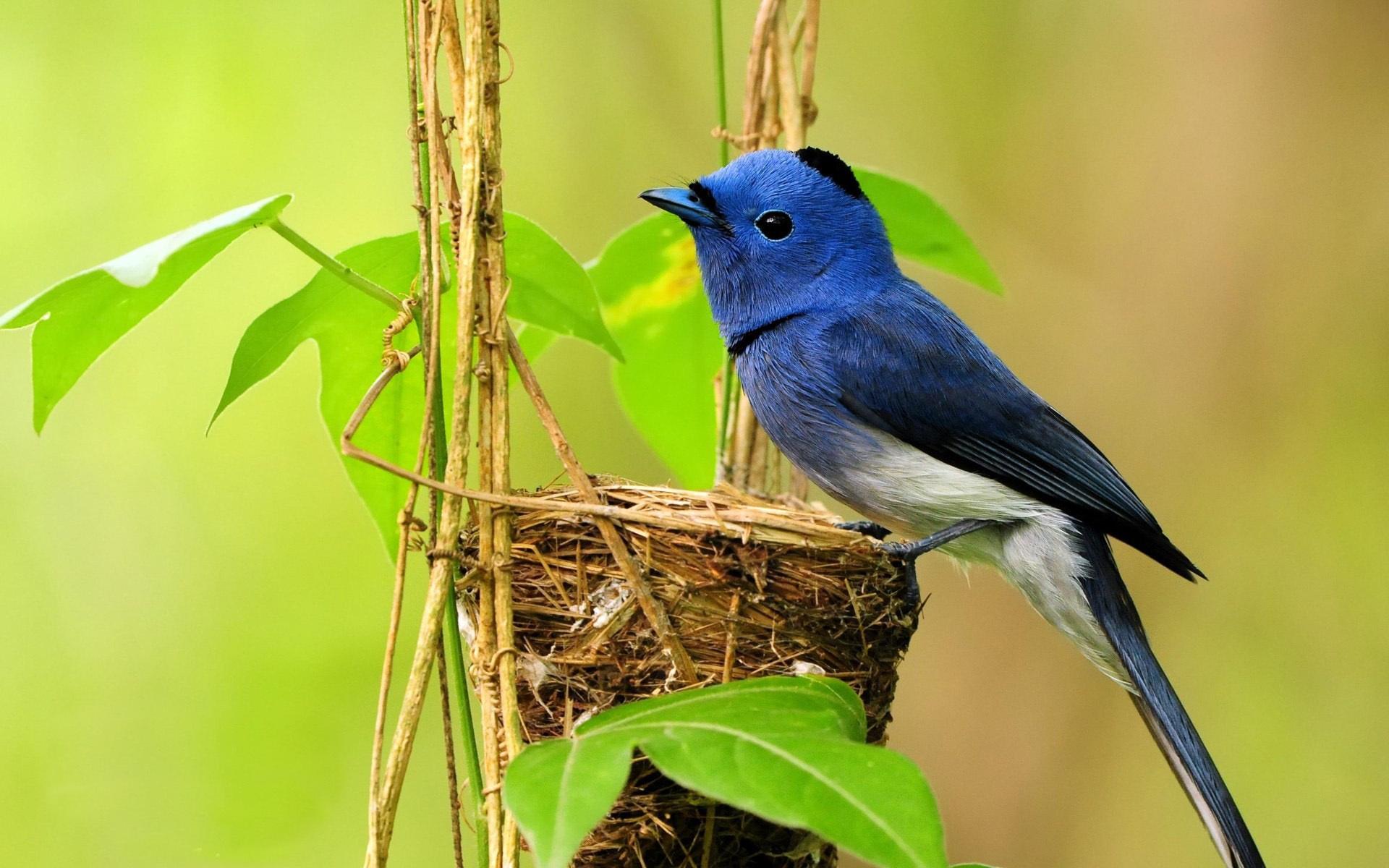 Fonds D Ecran Bleu Nid D Oiseau 1920x1200 Hd Image