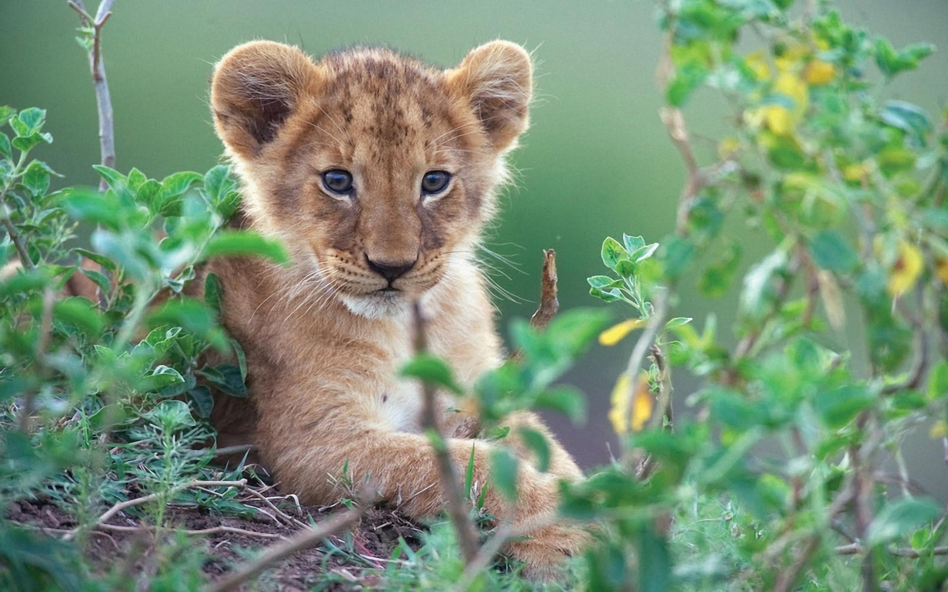 Fonds d 39 cran mignon petit lion dans les buissons verts 1920x1200 hd image - Felin de la savane ...