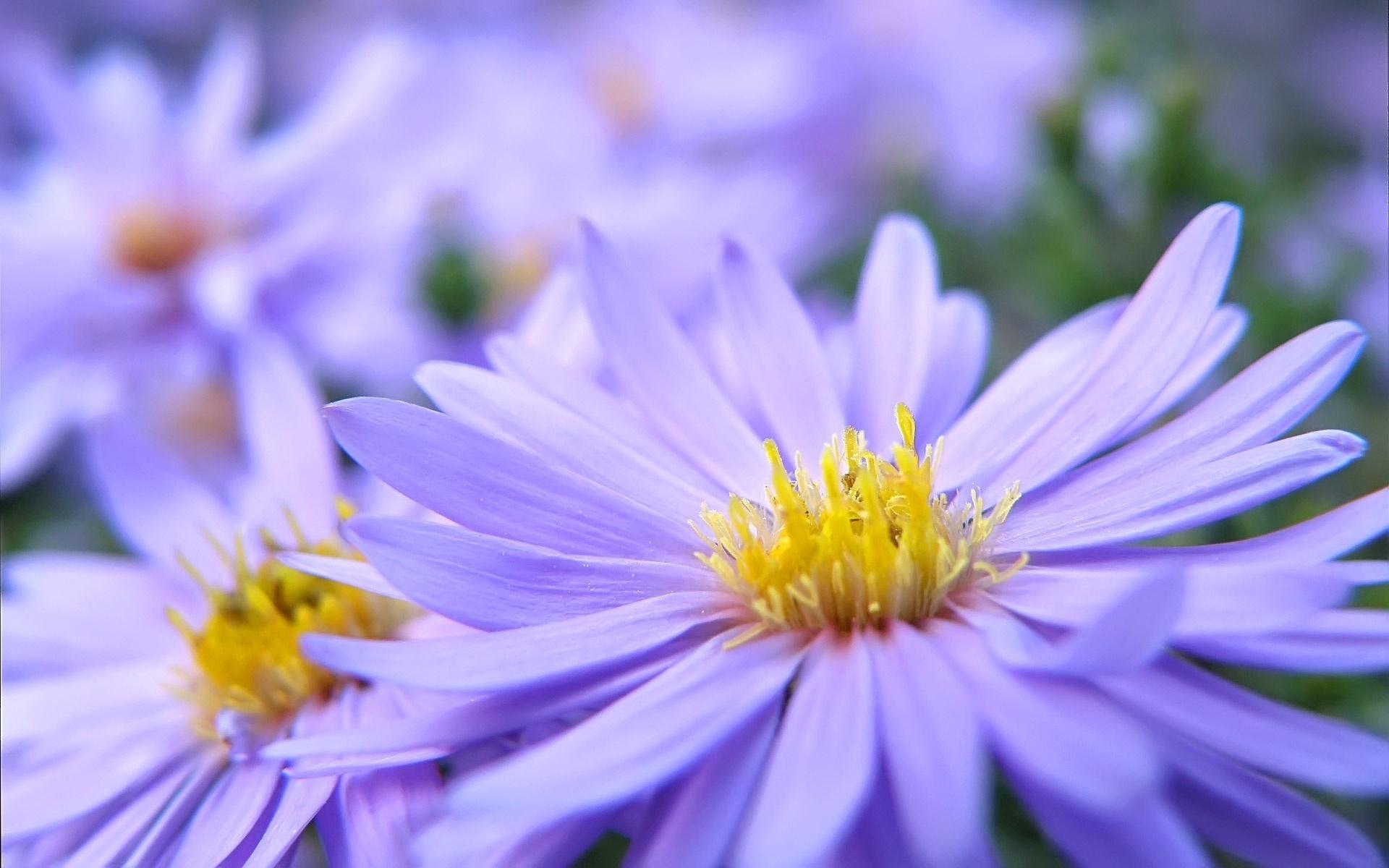 Download Wallpaper 1920x1200 Purple Flower Petals Macro Hd Background