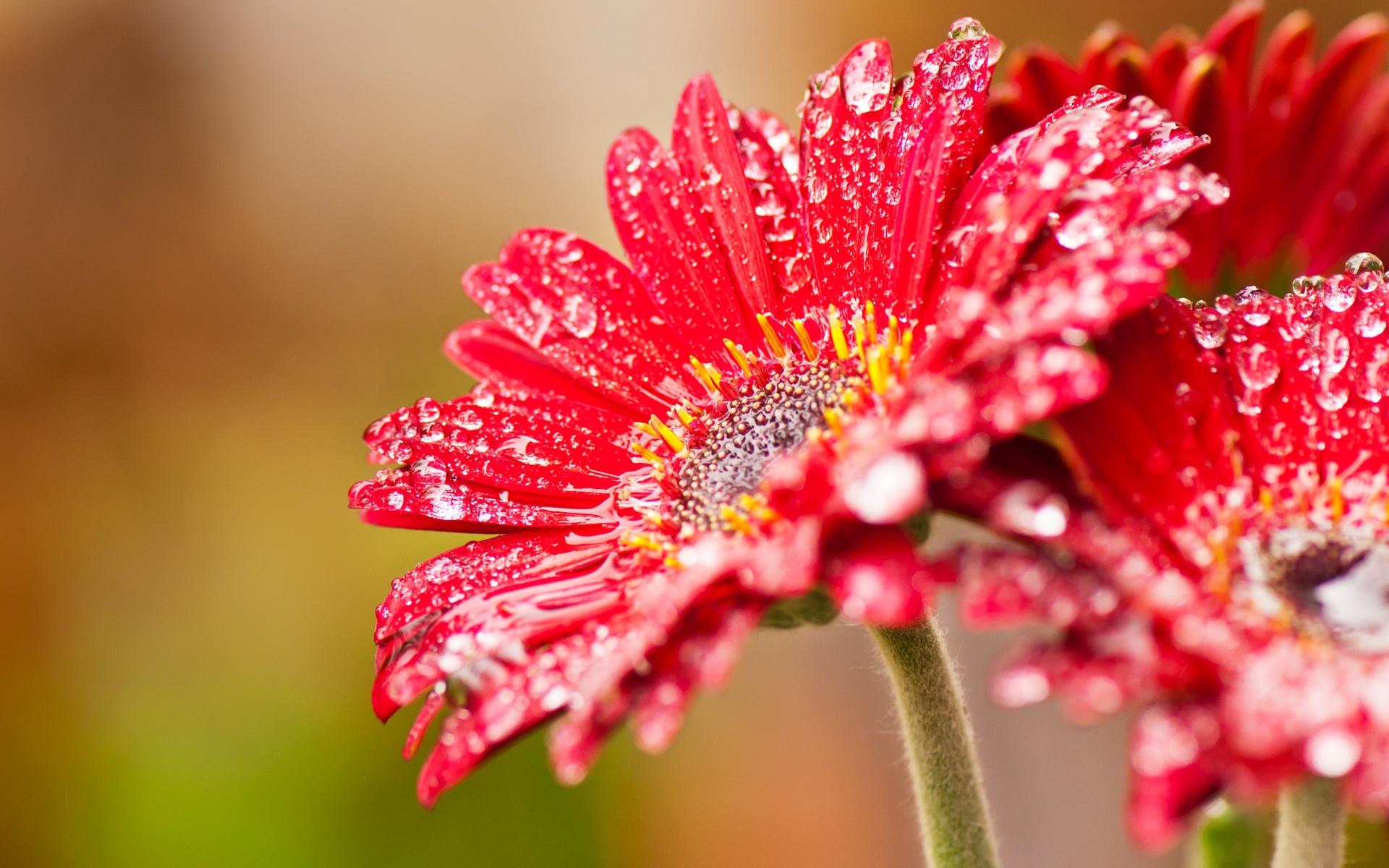 Wallpaper Red Gerbera Flowers After Rain 1920x1200 Hd