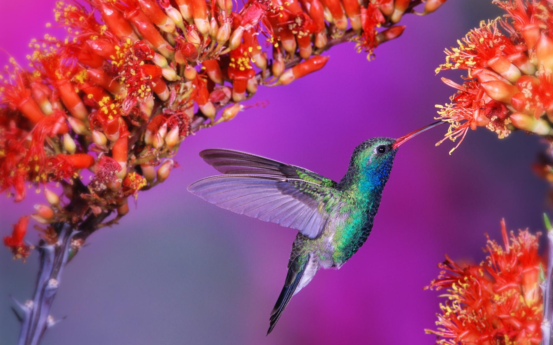 Sch ne v gel kolibri 1920x1200 hd hintergrundbilder hd bild for Kleine fliegen an blumen