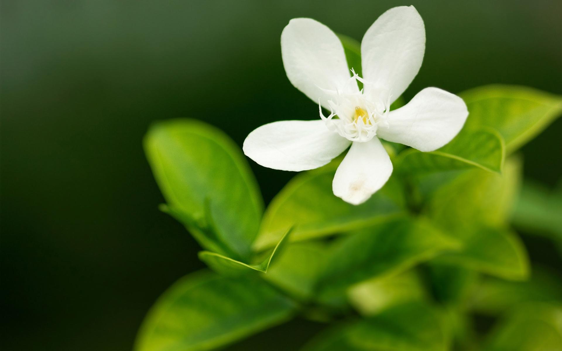 белые цветы картинки на рабочий стол