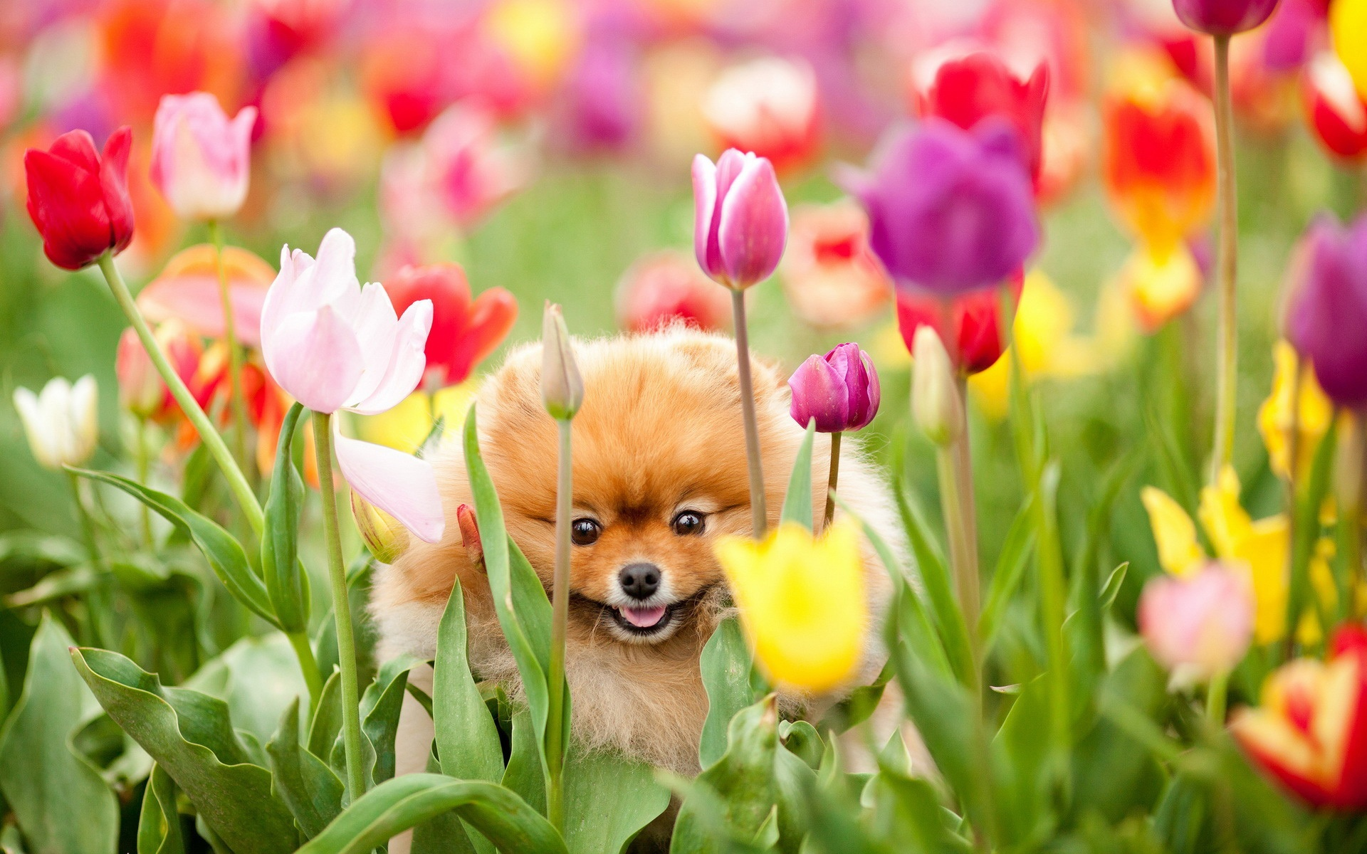 tulipe chien