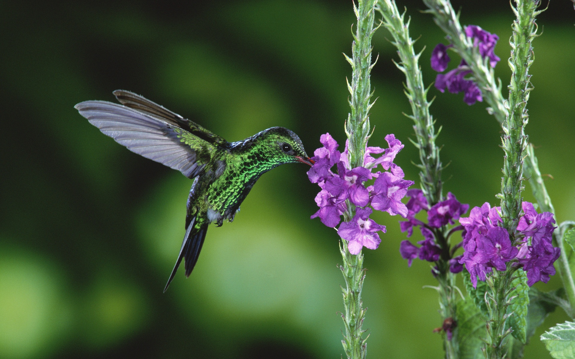 ハチドリの画像 p1_35