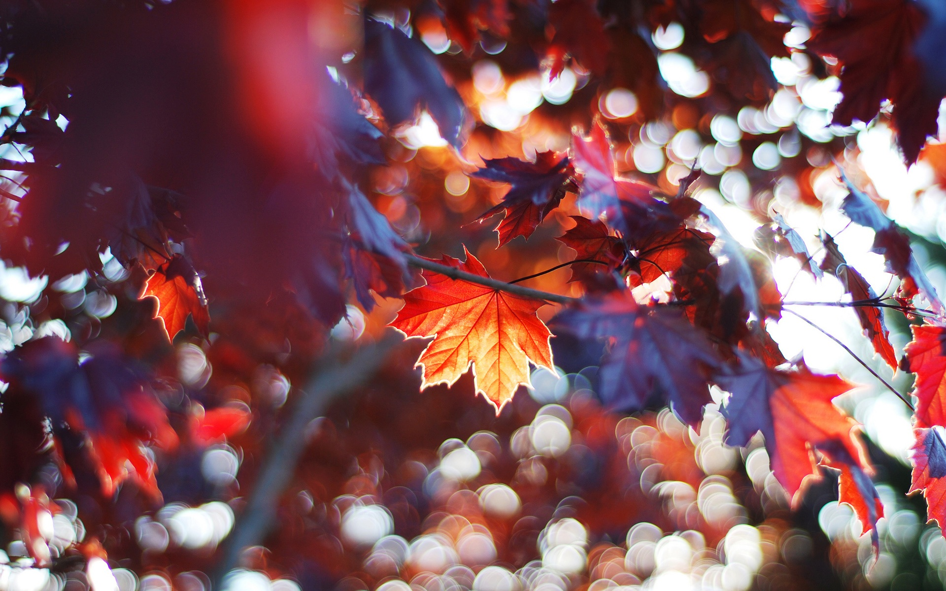 Wallpaper Autumn Leaves Red Maple Leaves 1920x1200 Hd