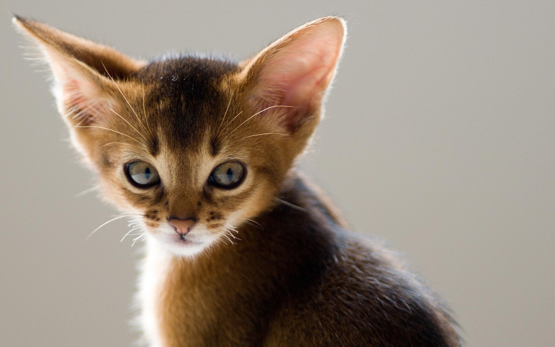 Wide Eared Cat