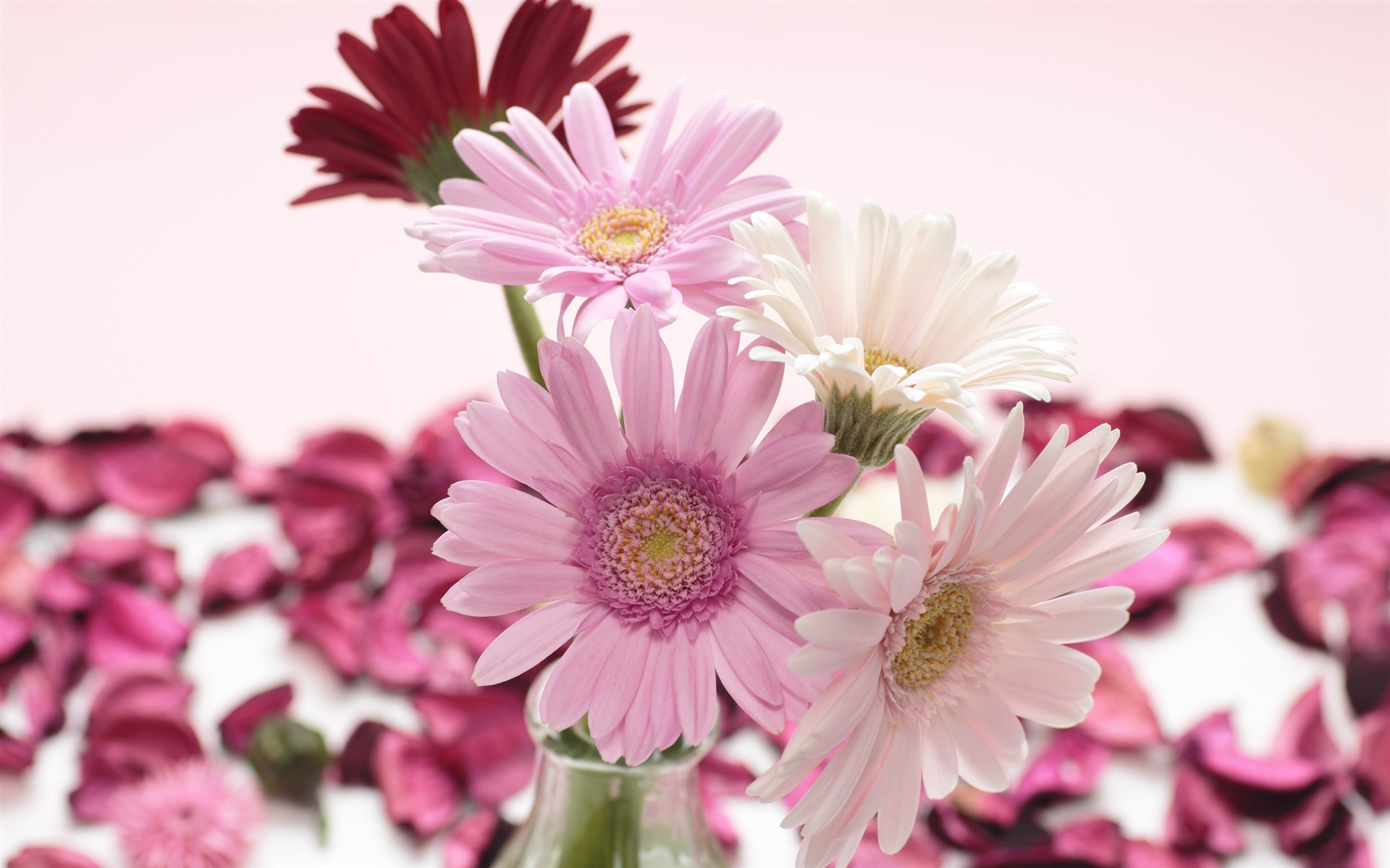 Wallpaper Red White Pink Gerbera Flowers Close Up 2560x1600 Hd