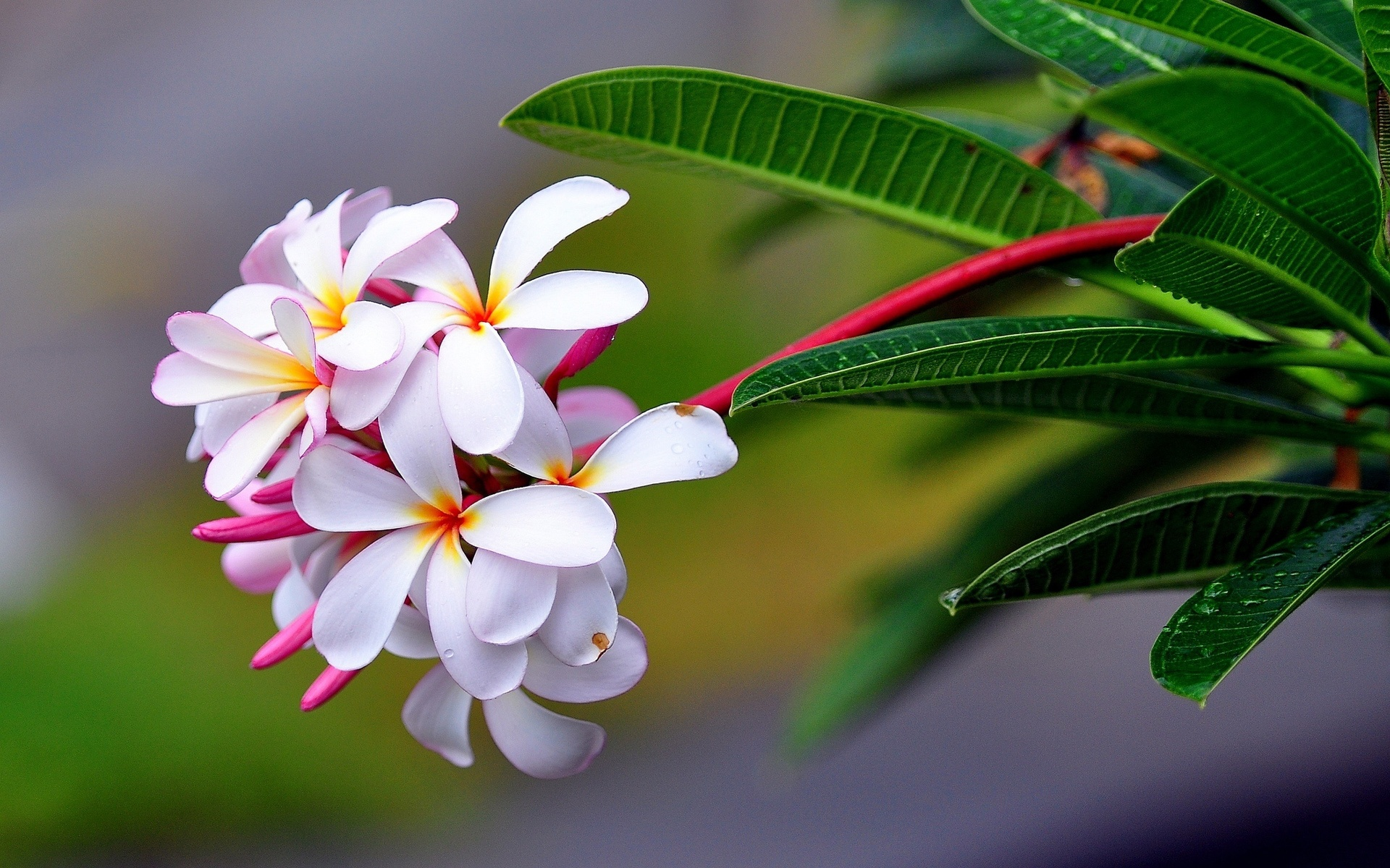 Wallpaper Plumeria Flowers Macro Photography 1920x1200 Hd Picture