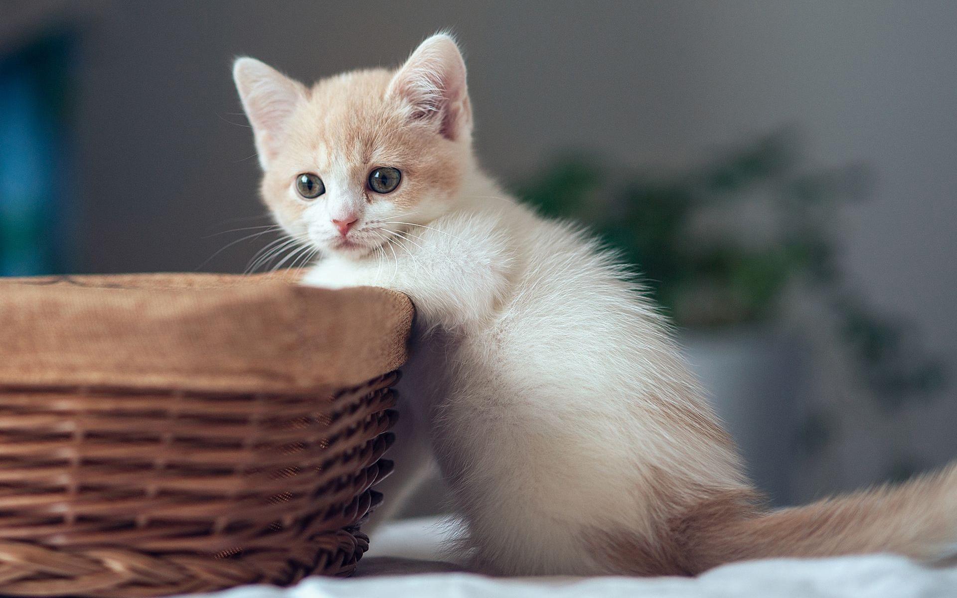fonds d 39 cran chaton mignon avec panier 1920x1200 hd image. Black Bedroom Furniture Sets. Home Design Ideas