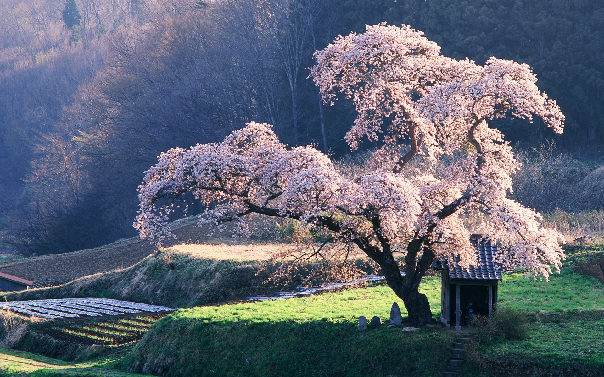 Wallpaper Japanese Landscape The Cherry Blossom 1920x1200 HD