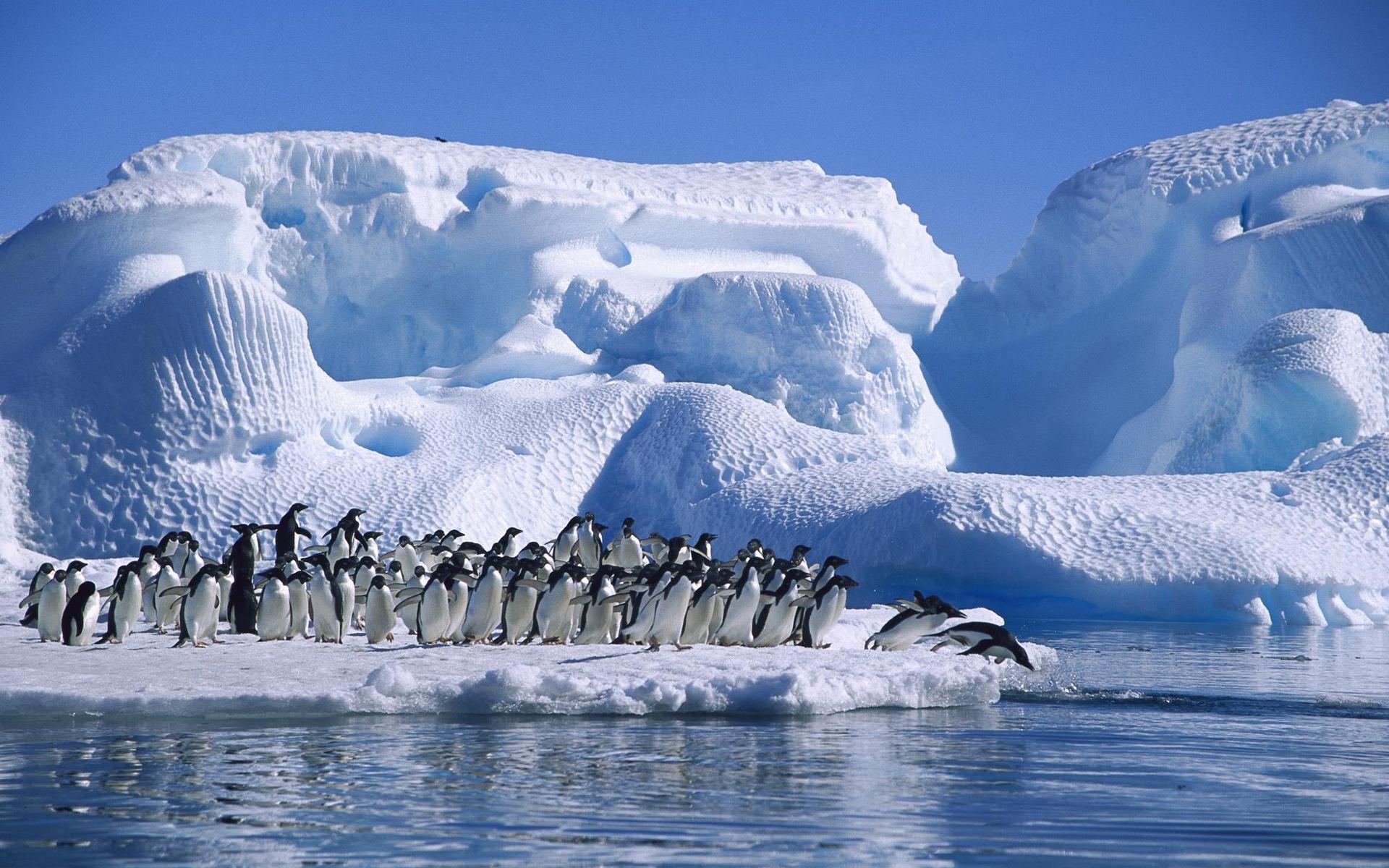 アデリーペンギンの画像 p1_38