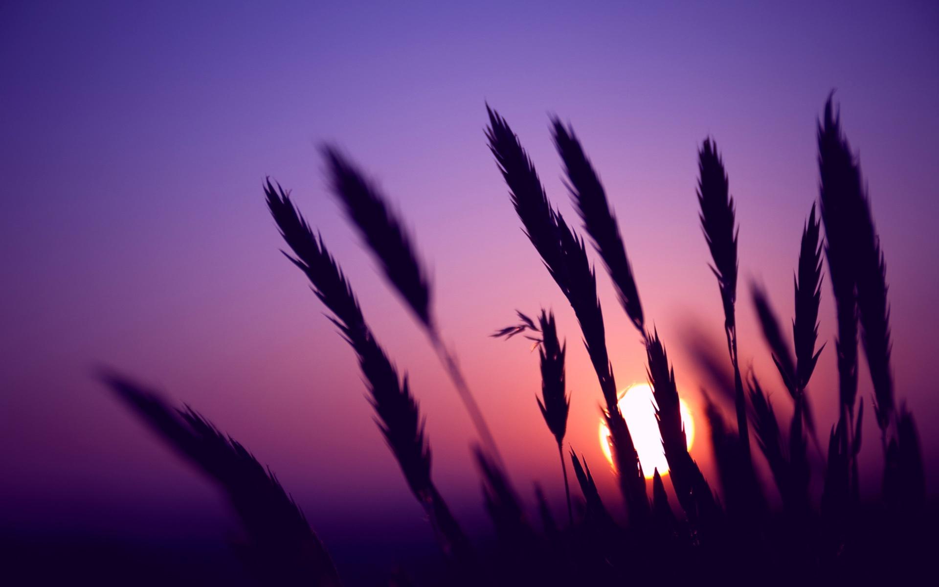 Grass, Sunset wallpaper