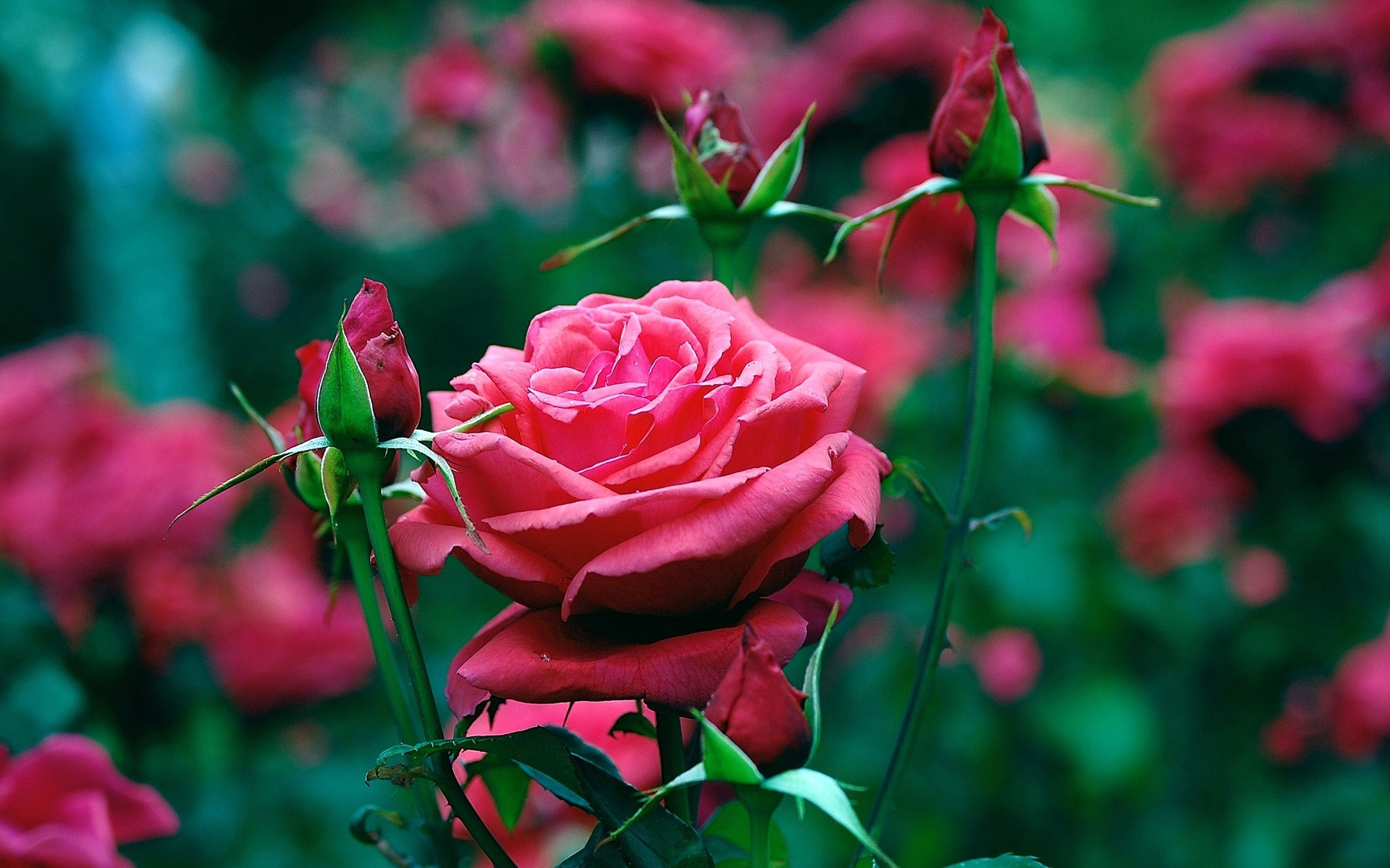 Wallpaper Garden Of Red Roses Close Up 1920x1200 HD Picture Image