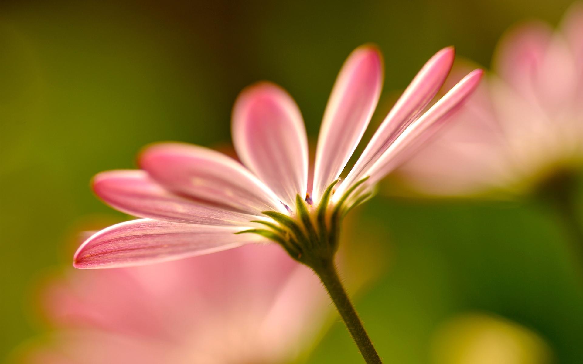 цветы макро розовые  № 1347121  скачать