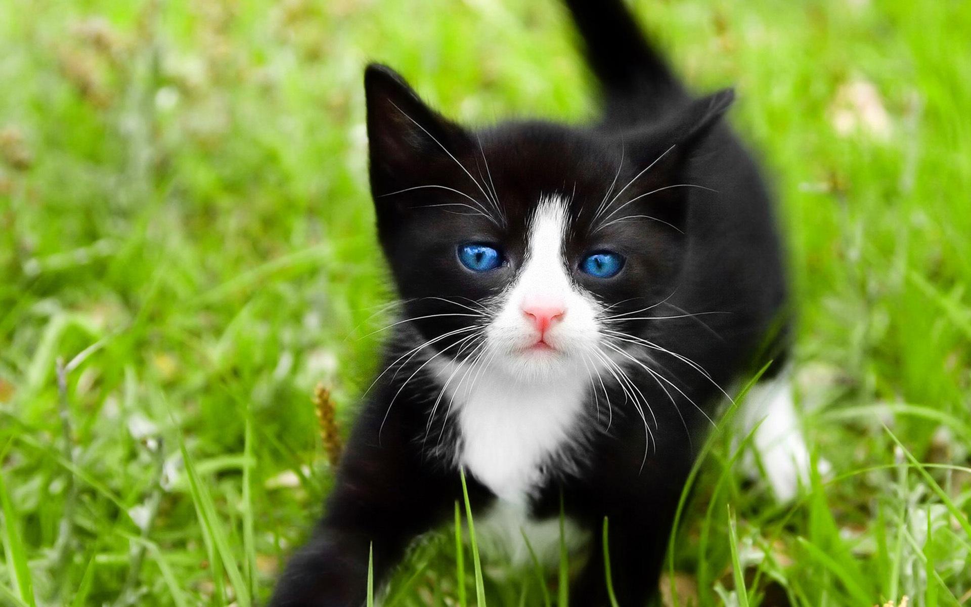 Gatos Pretos Dos Olhos Azuis Gato Preto Olhos Azuis