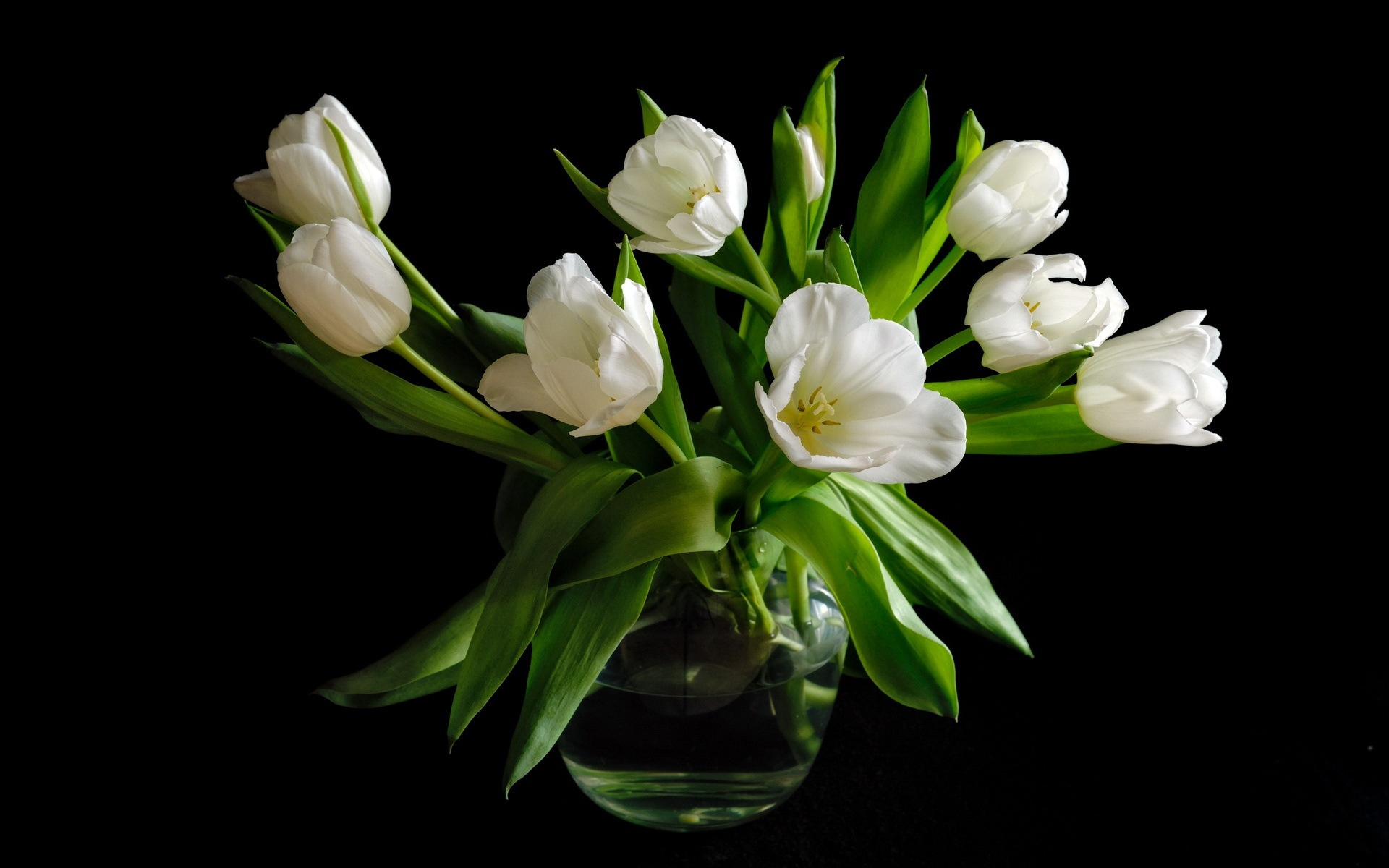 Wallpaper Vase White Tulip Flowers Black Background 1920x1200 Hd Picture Image