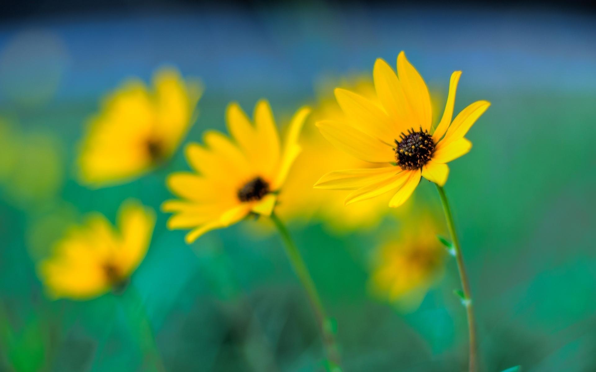 Желтые ромашки цветы желтые цветы размытость  № 3830989 загрузить