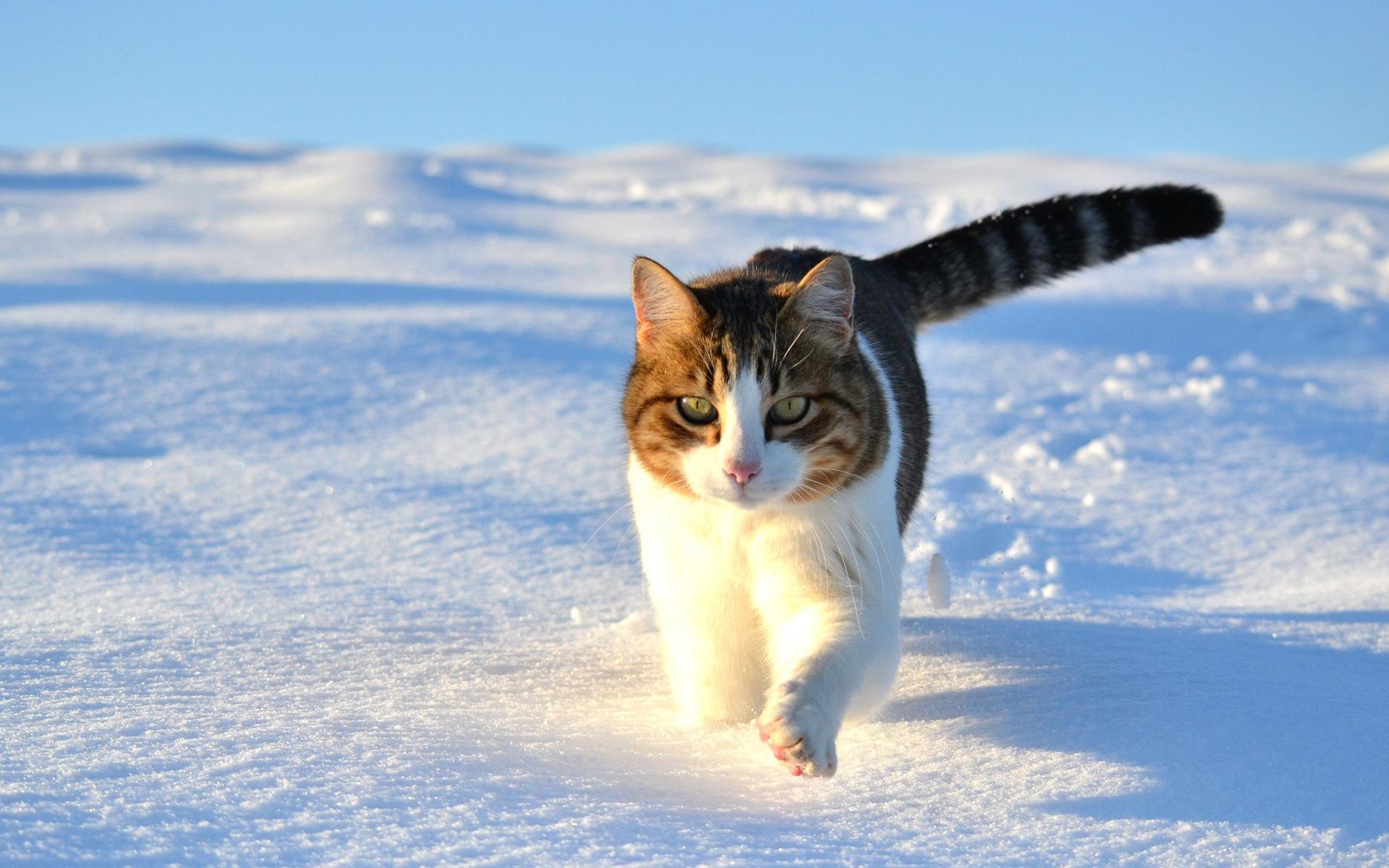 壁紙 かわいい猫は 雪の冬を歩いて 1920x1200 Hd 無料のデスクトップ