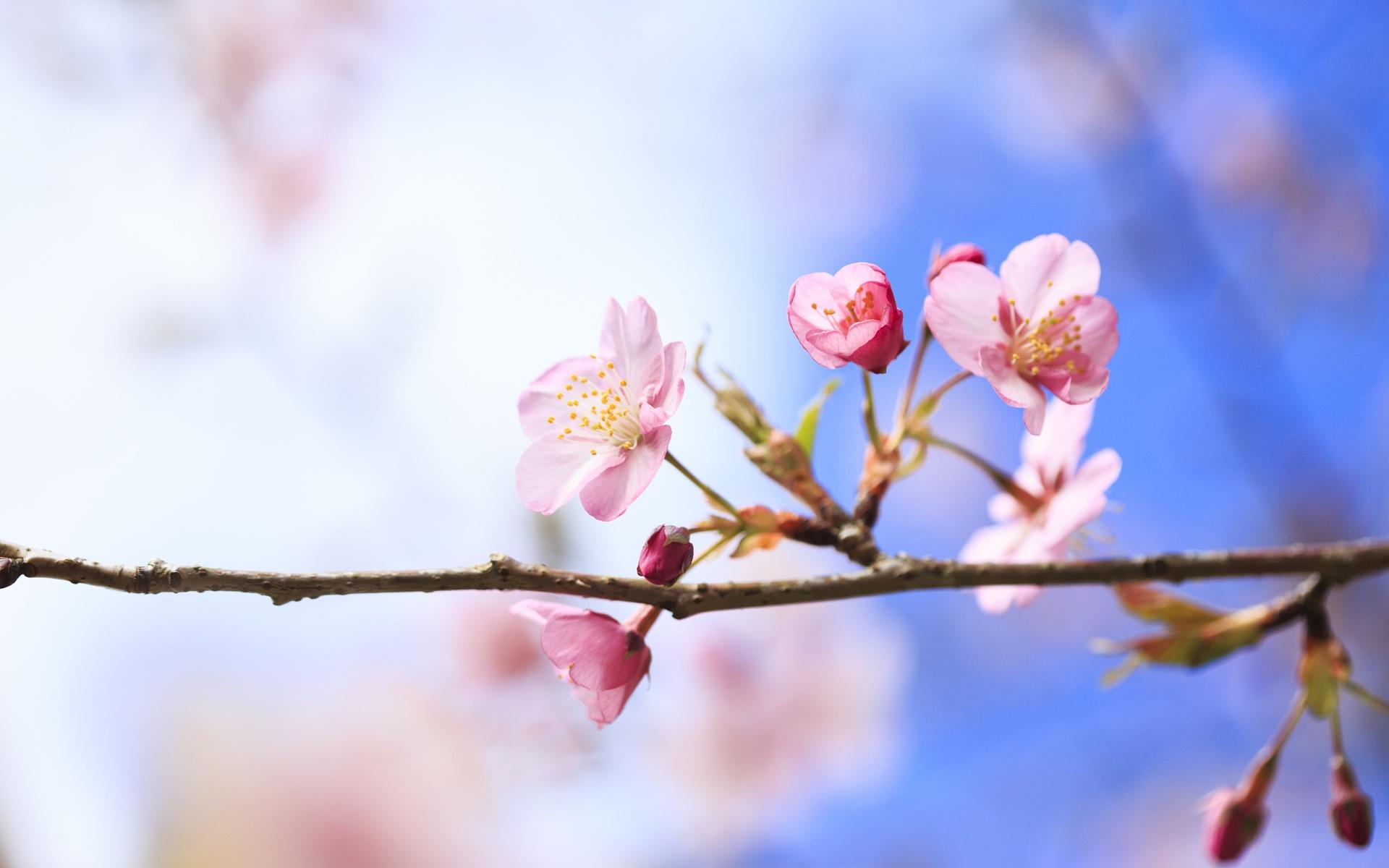 вишня цветение  № 2767166  скачать