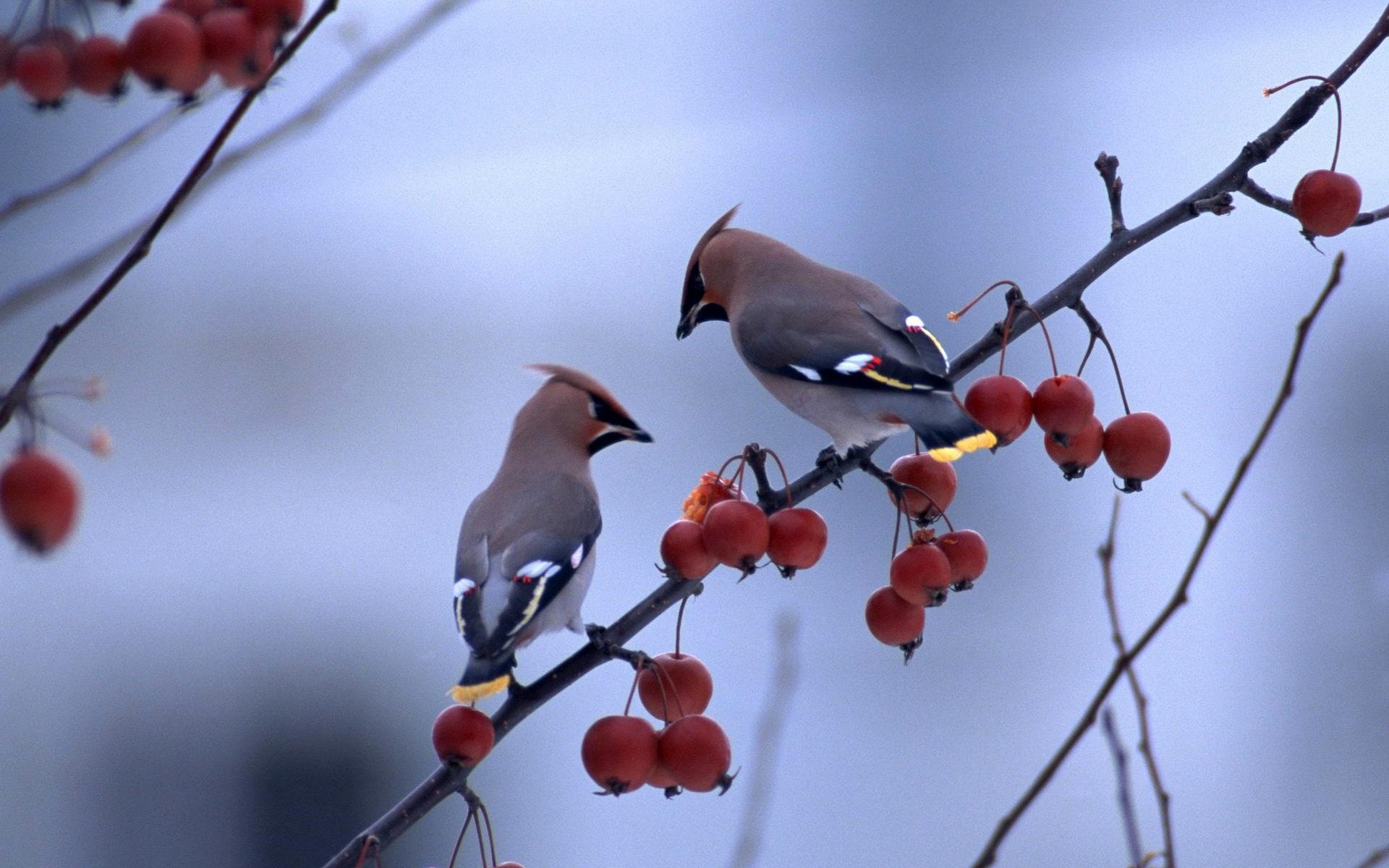 Птицы на ветке  № 1652646 без смс