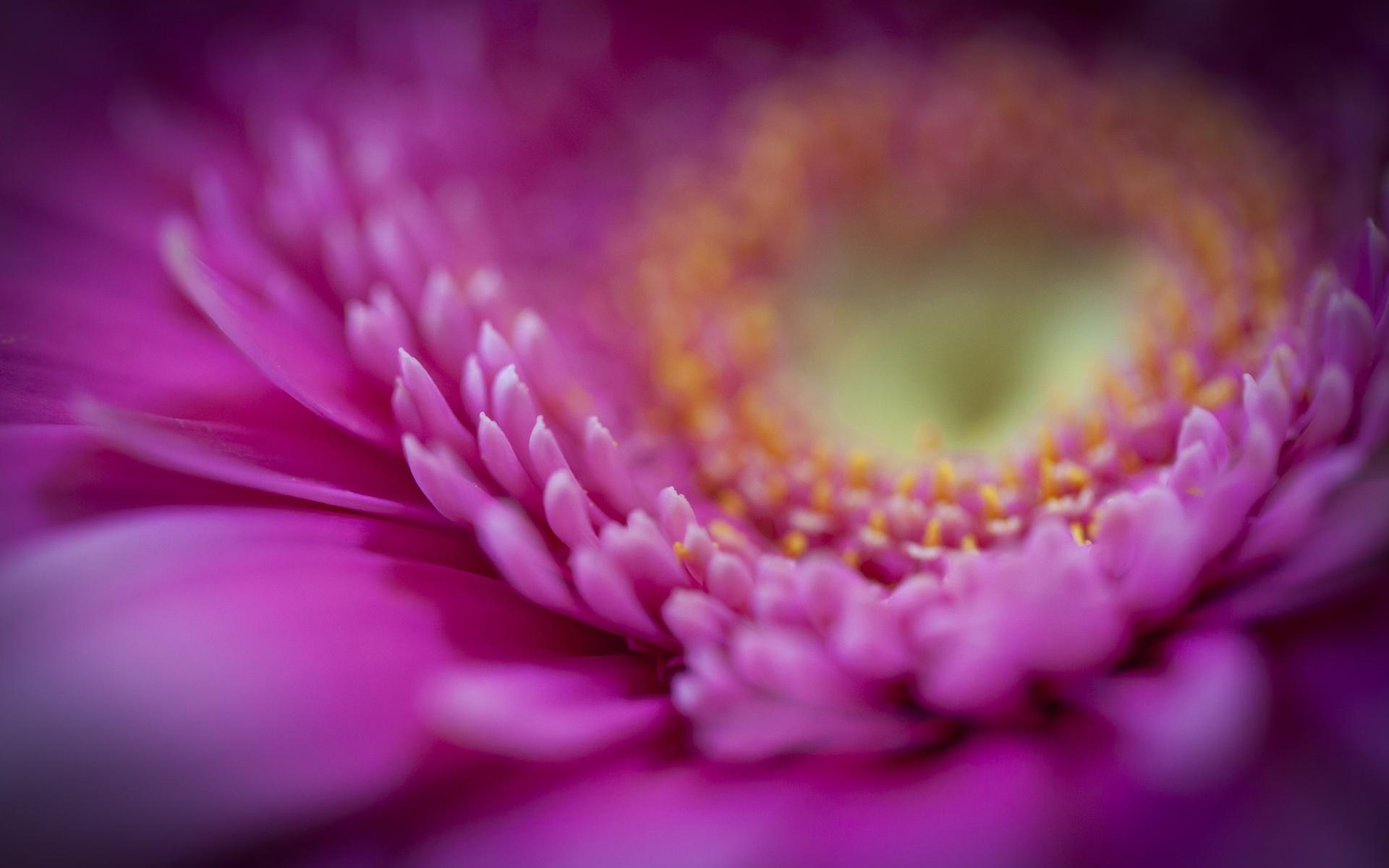 цветы макро розовые  № 1347093 загрузить