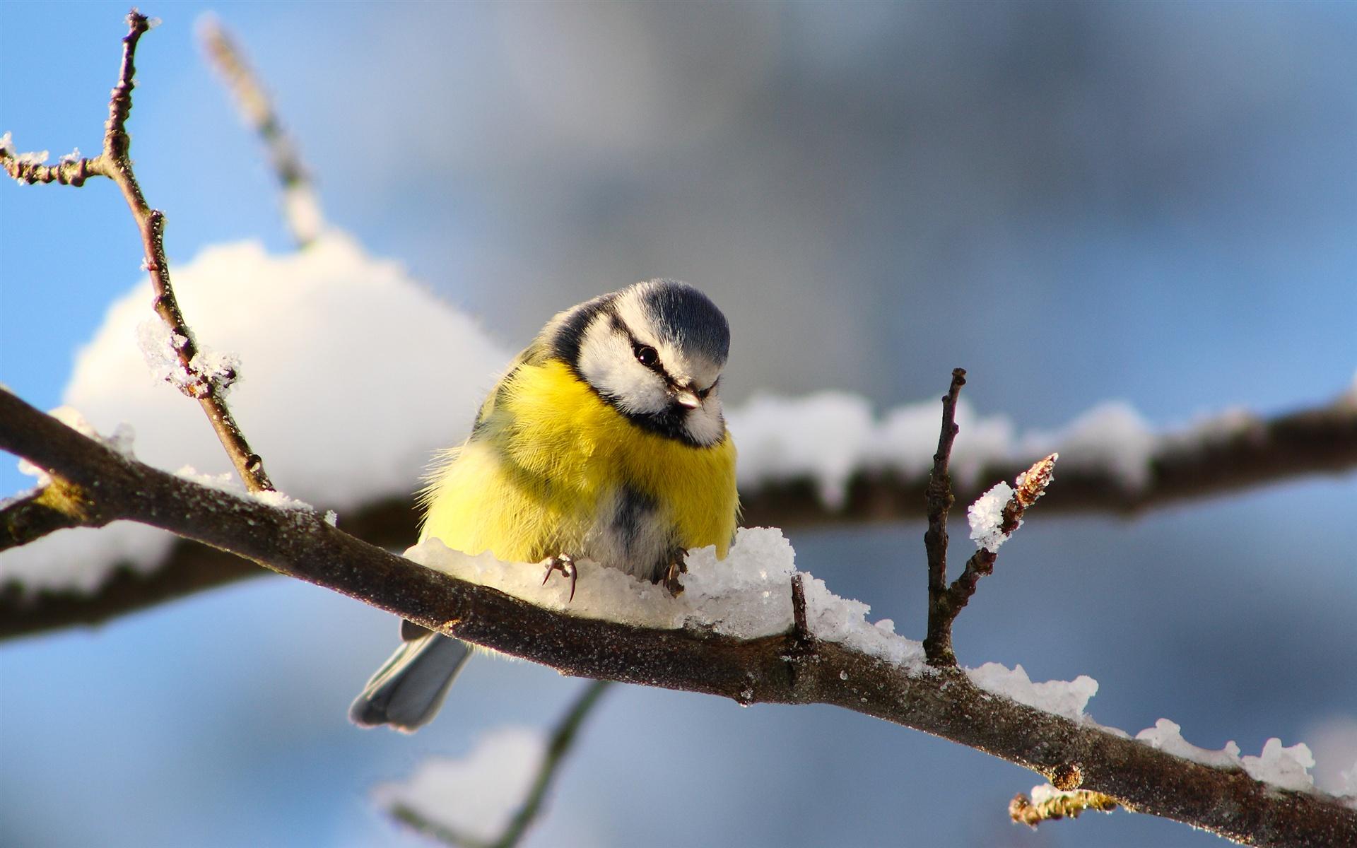 download hintergrundbilder 1920x1200 vogel fotografie meise zweige schnee im winter hd. Black Bedroom Furniture Sets. Home Design Ideas