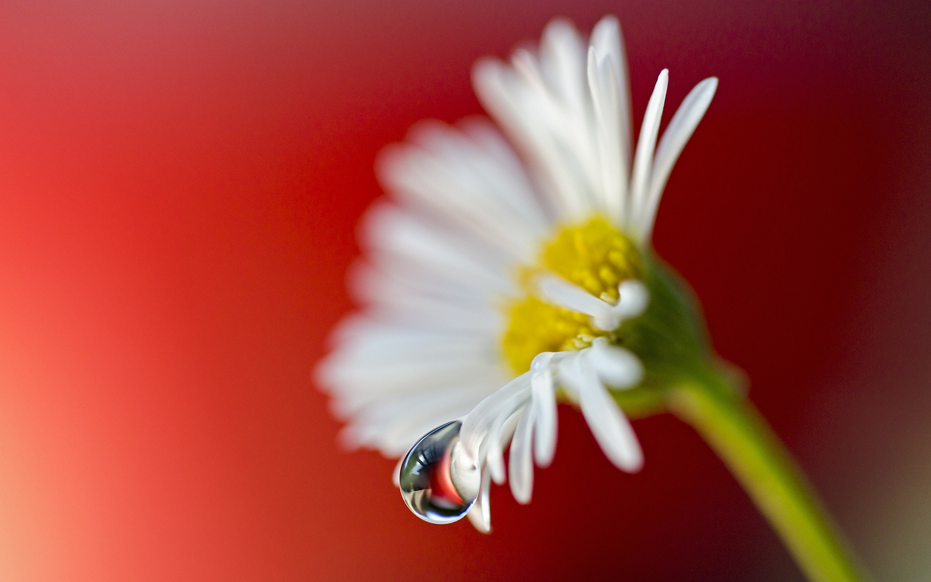 ромашка цветы фокус  № 1096423 бесплатно