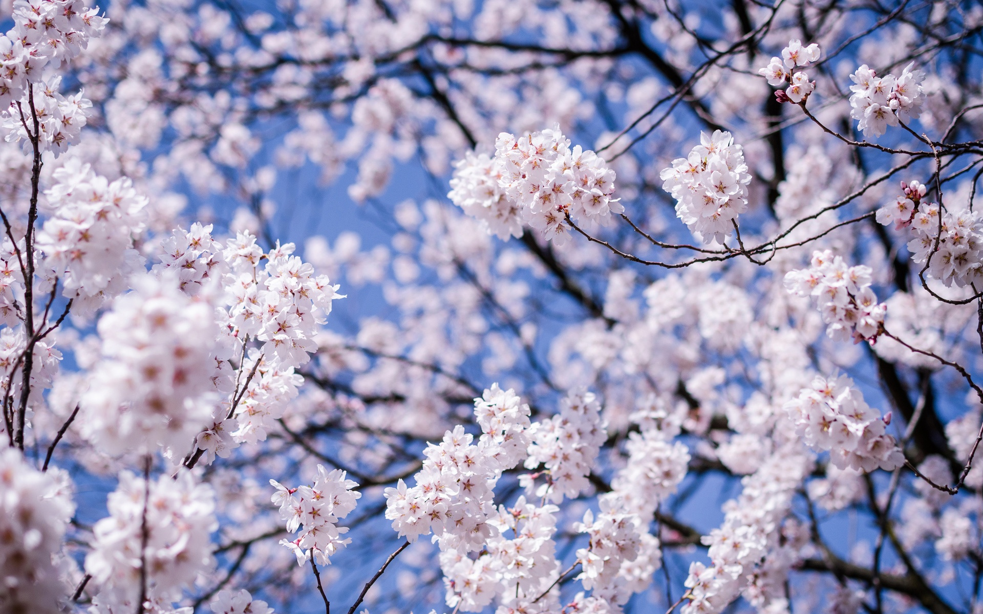 Fonds D Ecran Japon Matsumoto Prefecture De Nagano Fleurs De