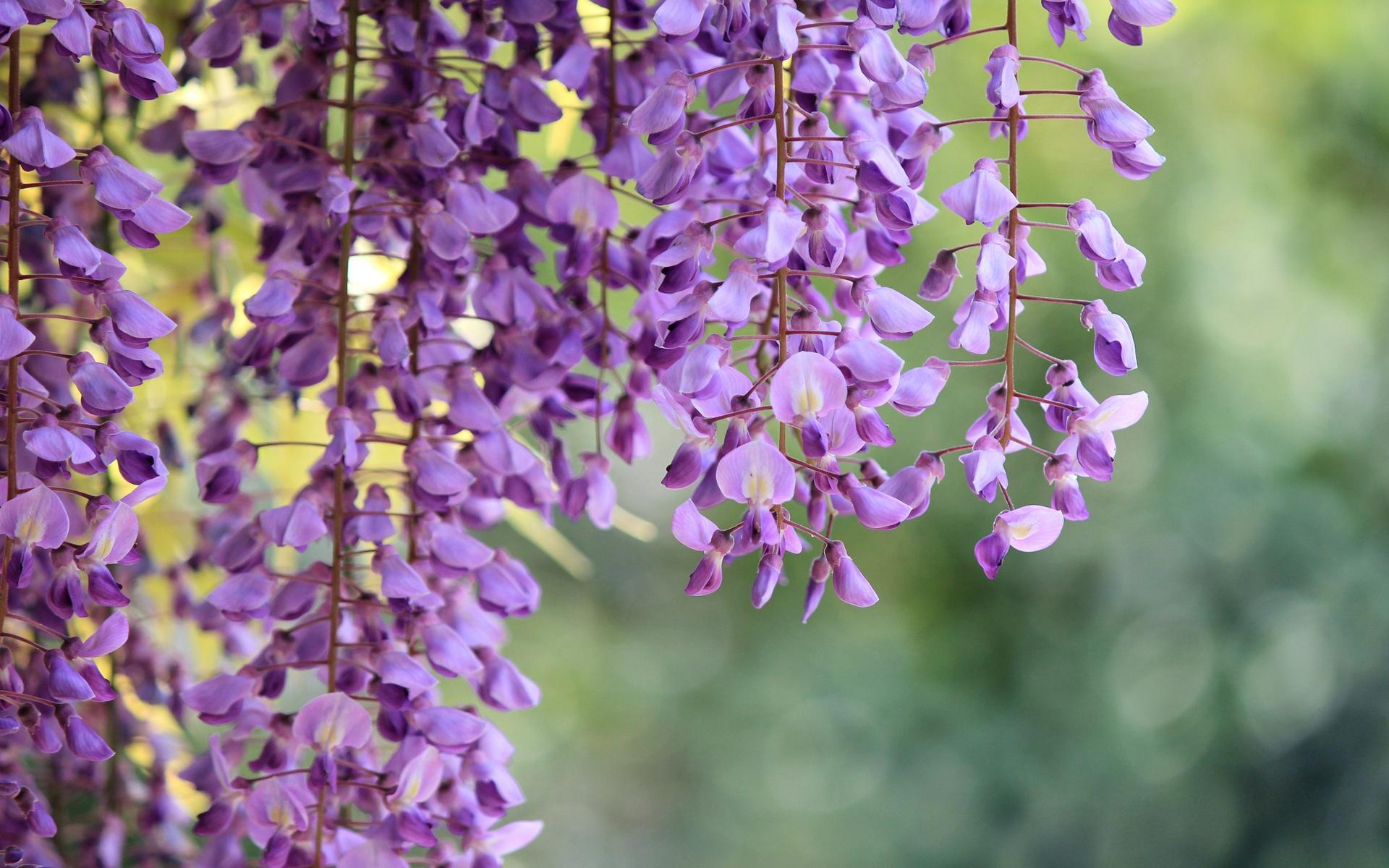 壁紙 藤 枝 紫色の花マクロ撮影 1920x1200 Hd 無料のデスクトップの