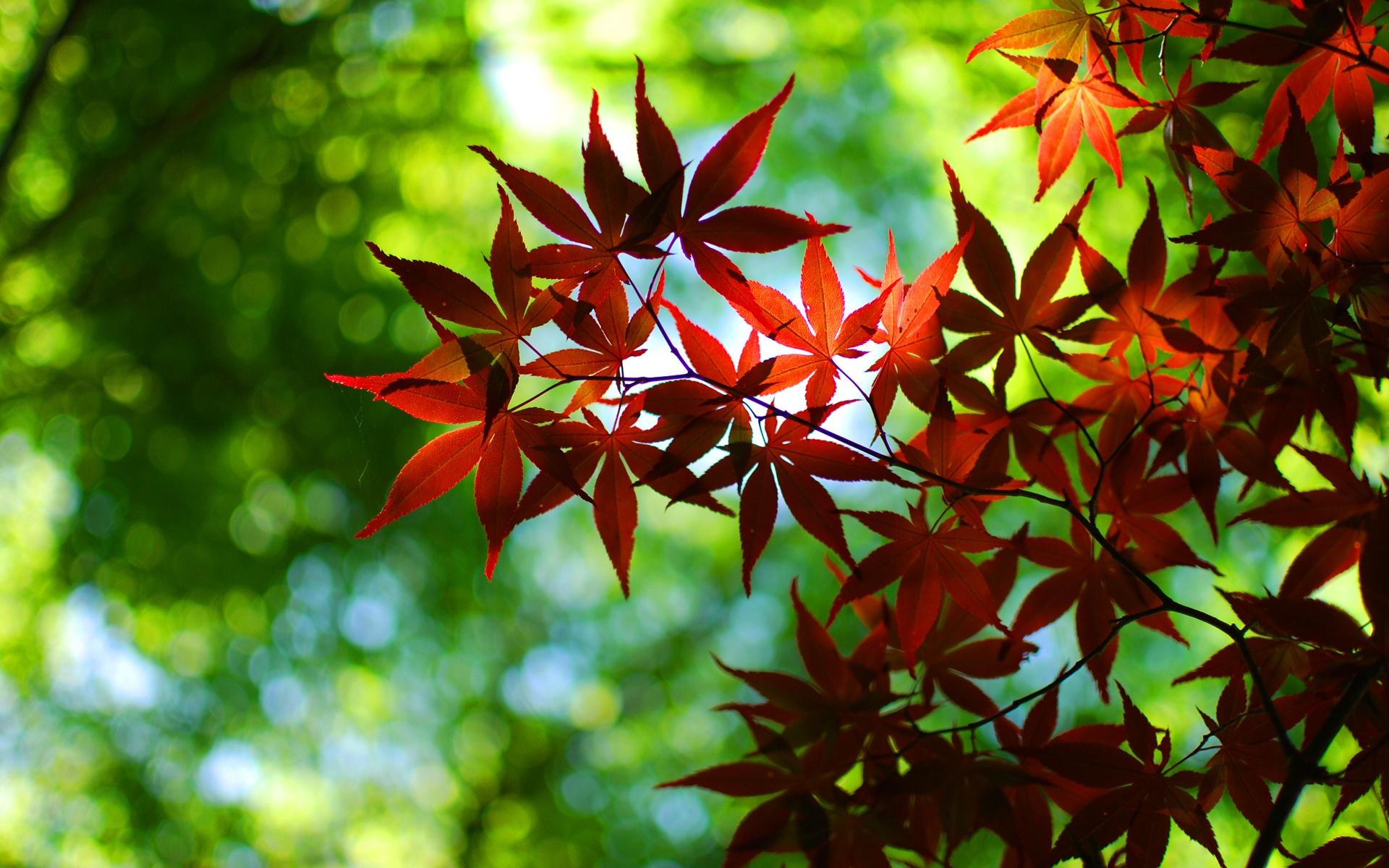 foto de Fonds d'écran Bokeh, vert, automne, feuilles d'érable rouge ...
